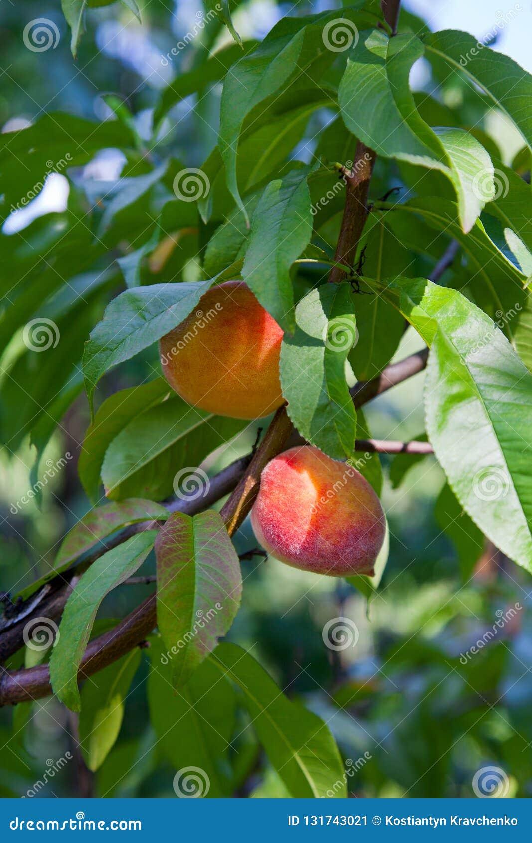 Melocotones maduros en rama de árbol