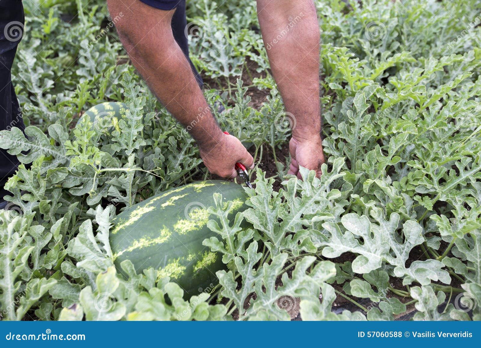 Meloengebied met hopen van rijpe watermeloenen in de zomer