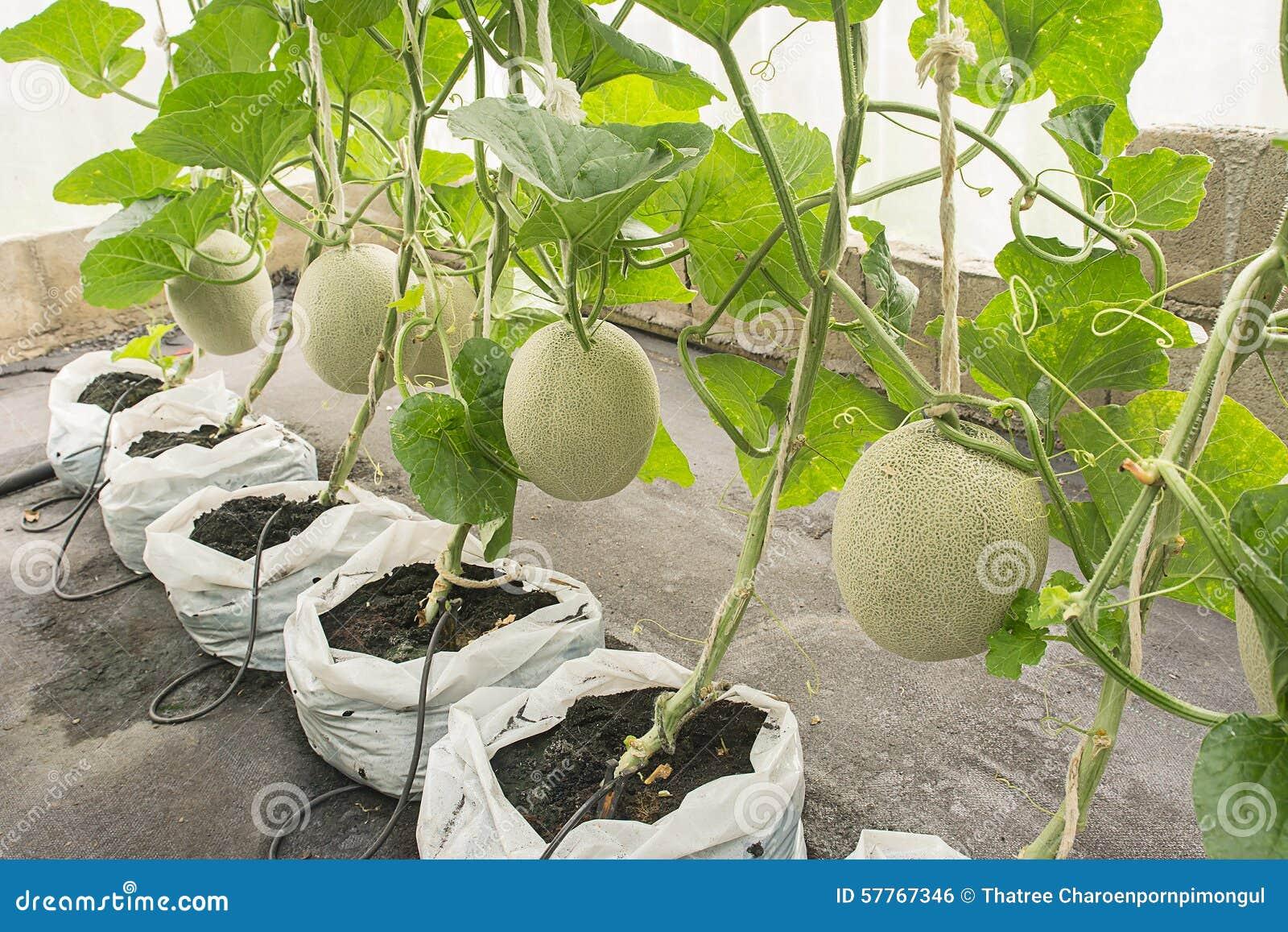 When to plant a melon