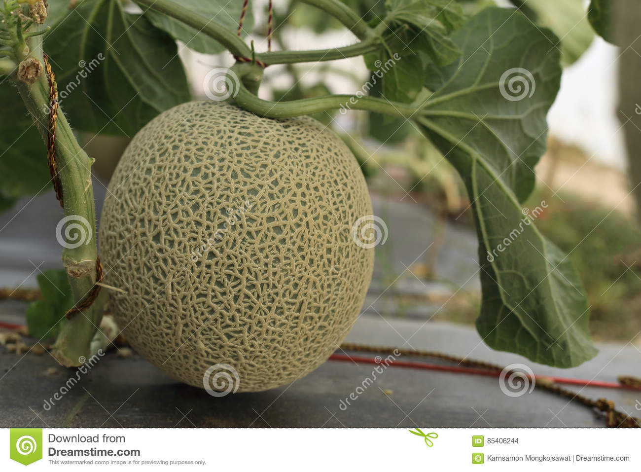 Melon Or Cantaloupe Fruit On Tree In Hydroponics Farm Stock Photo Image Of Fruit Foliage 85406244 Find 20 melon recipes from martha stewart, highlighting honeydew, cantaloupe, and more. dreamstime com
