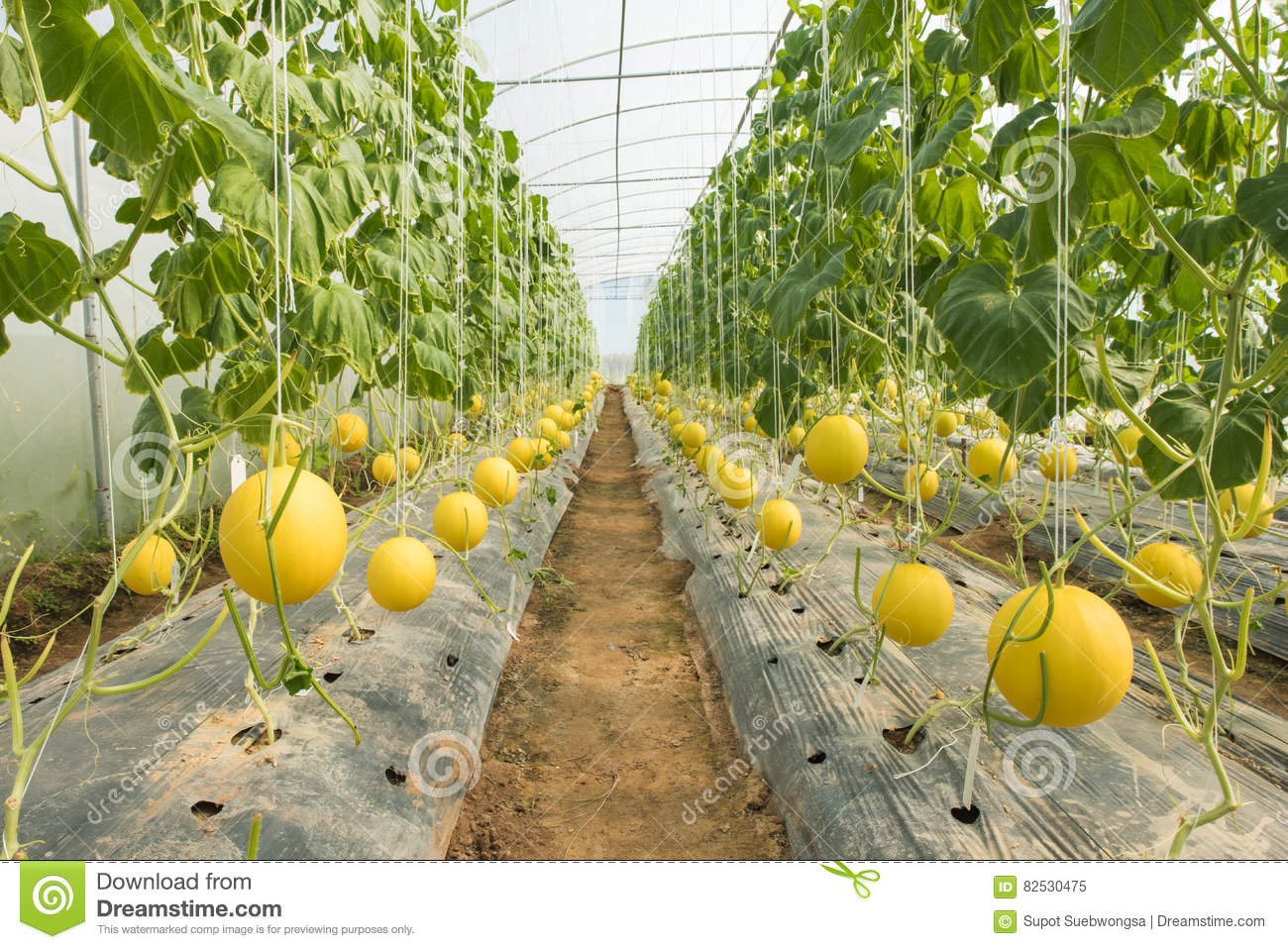 Melon farming melon plantation in the high tunnels greenhouse stock image image 82530475 - Culture du melon en serre ...