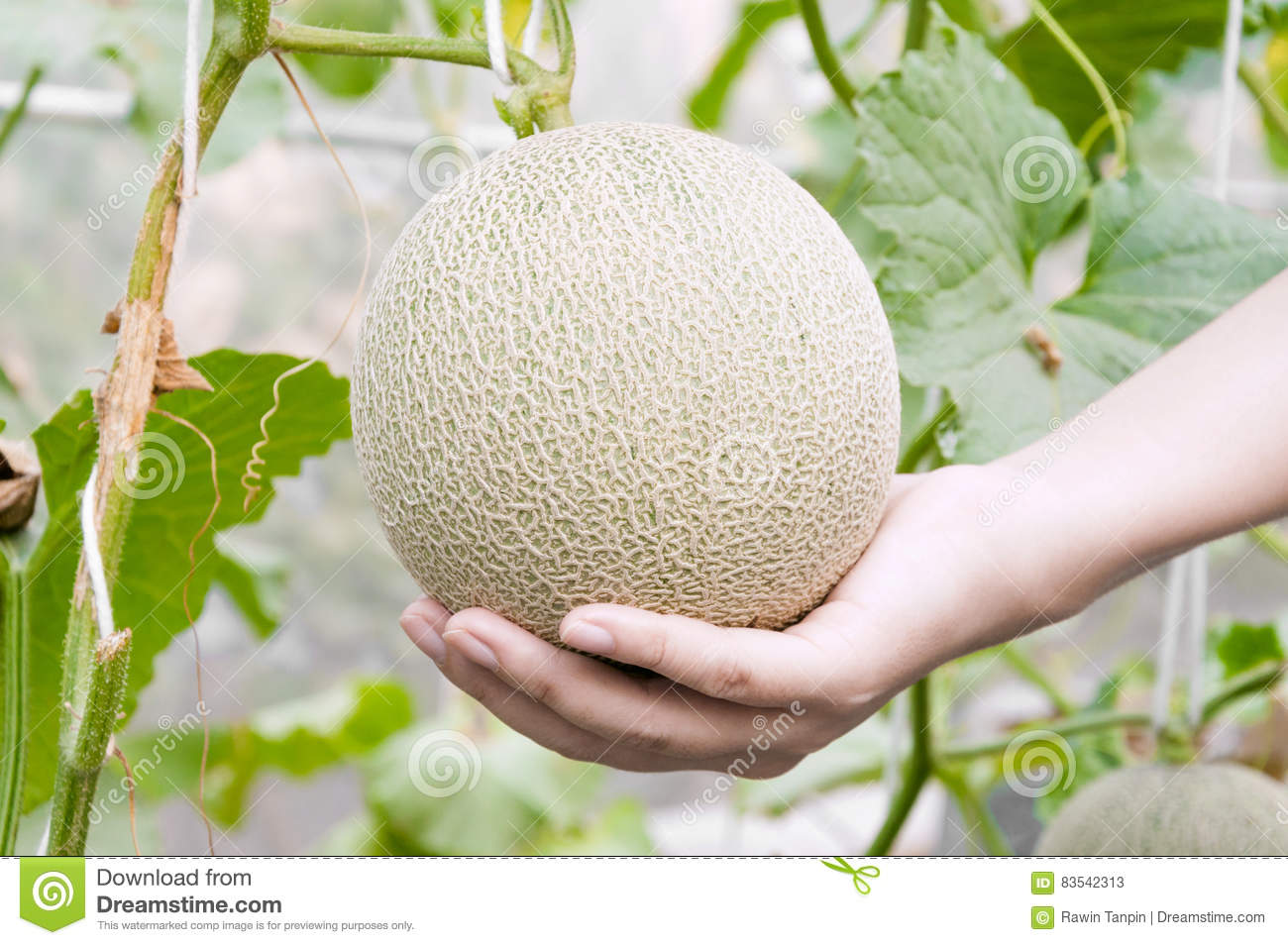 Melon In Hand Cantaloupe Melons Growing In A Greenhouse Supported By String Melon Nets Stock Image Image Of Gardeners Group 83542313 ✓ free for commercial use ✓ high quality images. dreamstime com