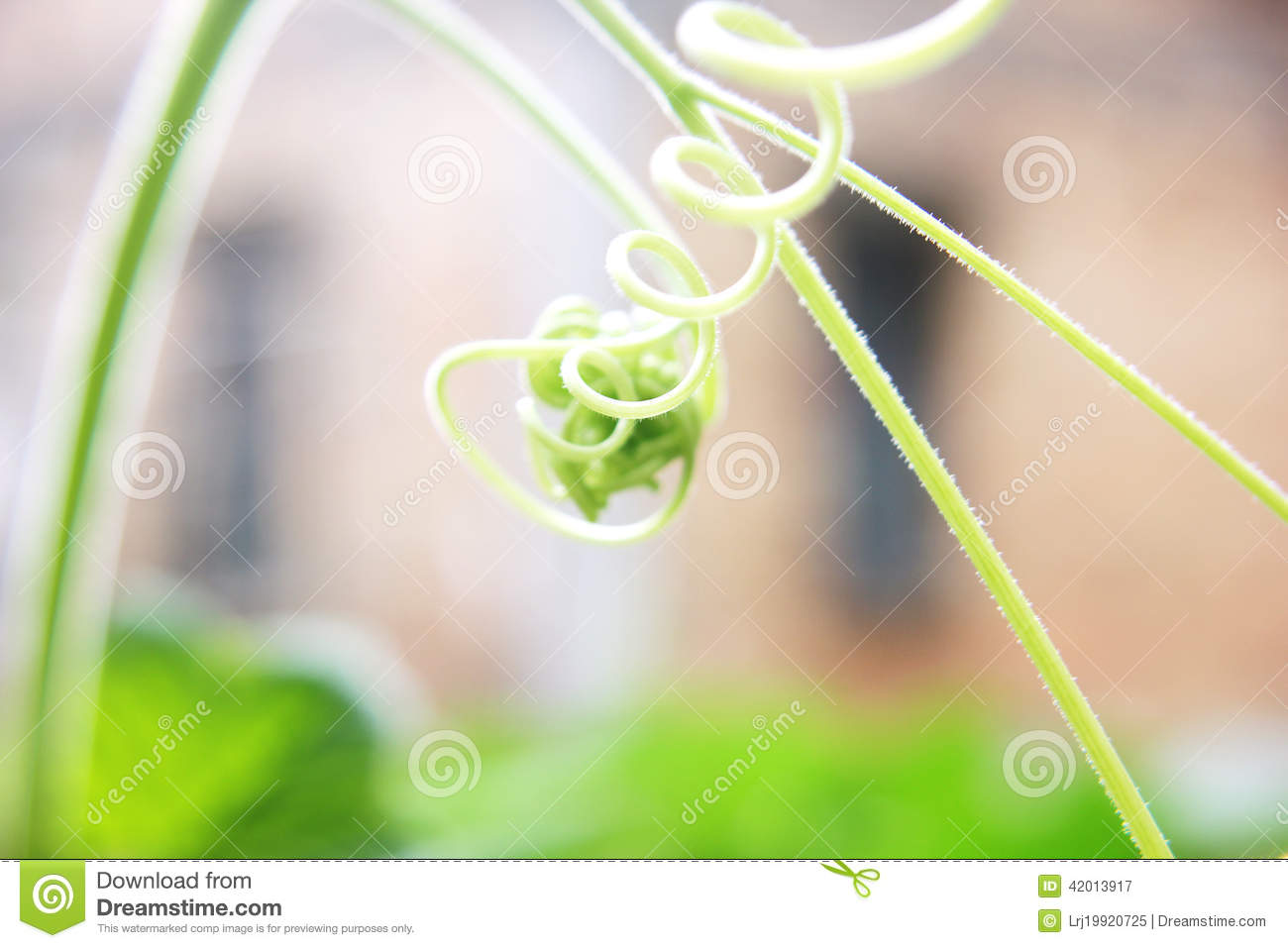 Download Melon vine Curls of nature stock image. Image of green - 42013917
