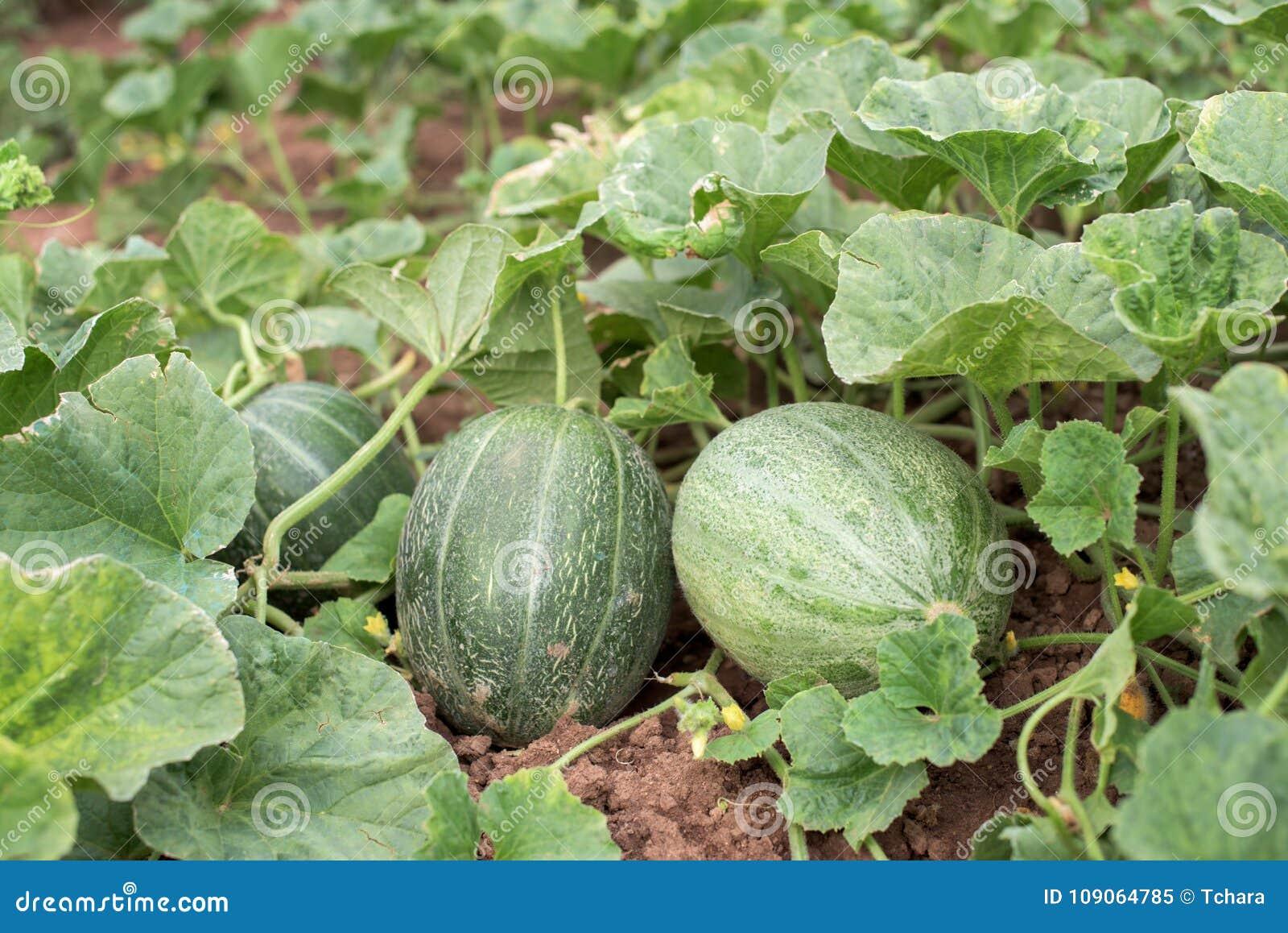 Melonfrukter och växt