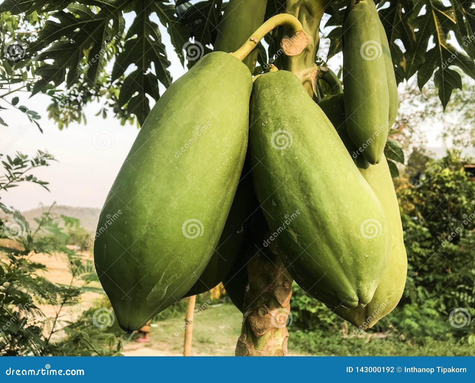 Melonowiec na drzewie
