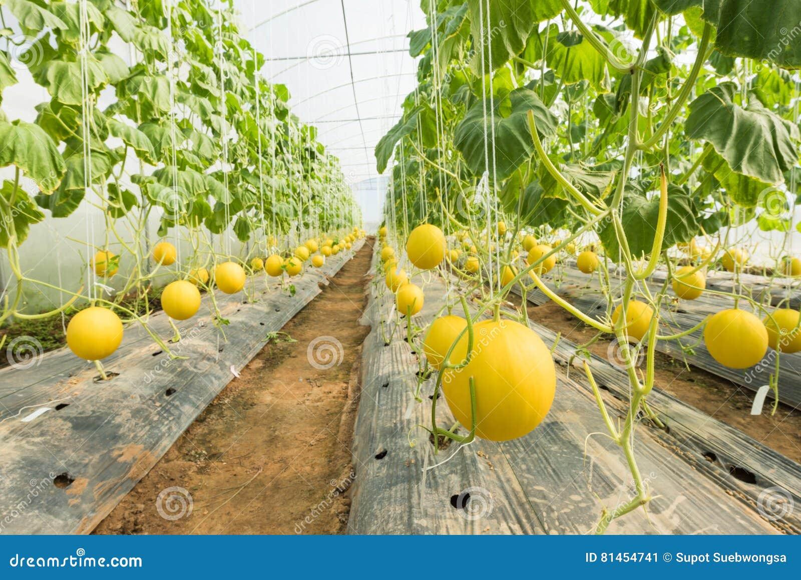 Melonowy uprawiać ziemię, Melonowa plantacja w wysokich tunelach szklarnianych