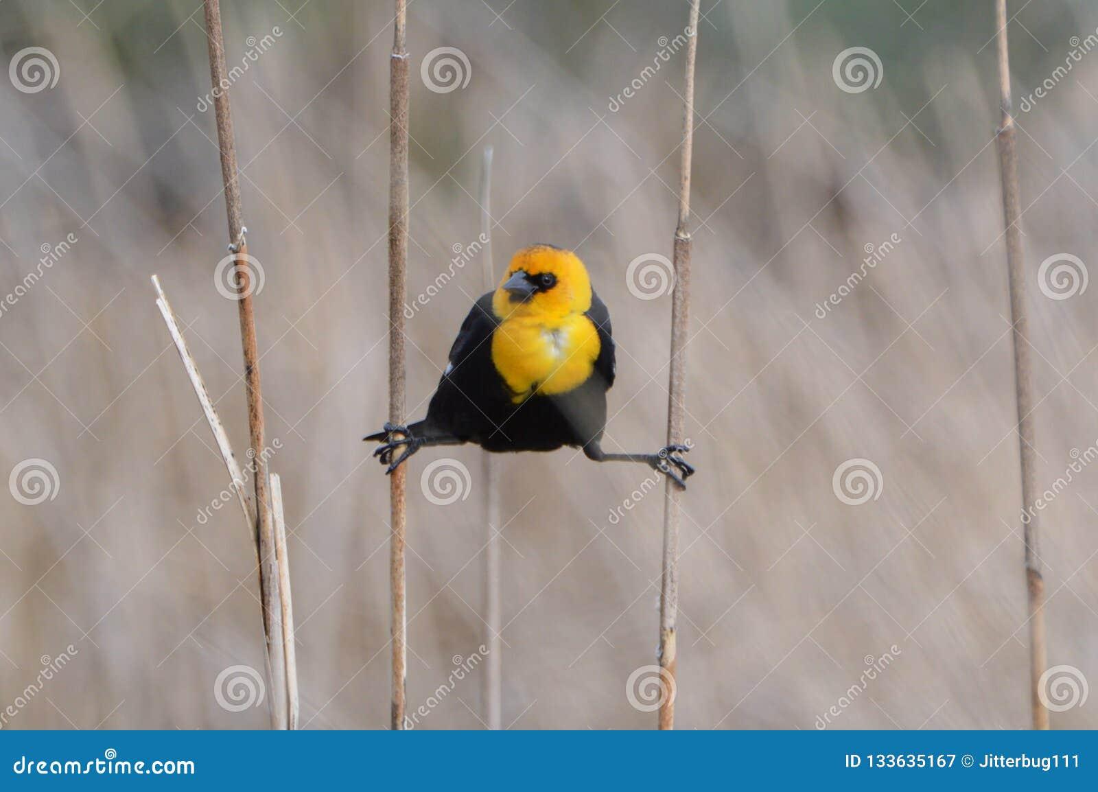 Melro dirigido amarelo que pendura em juncos