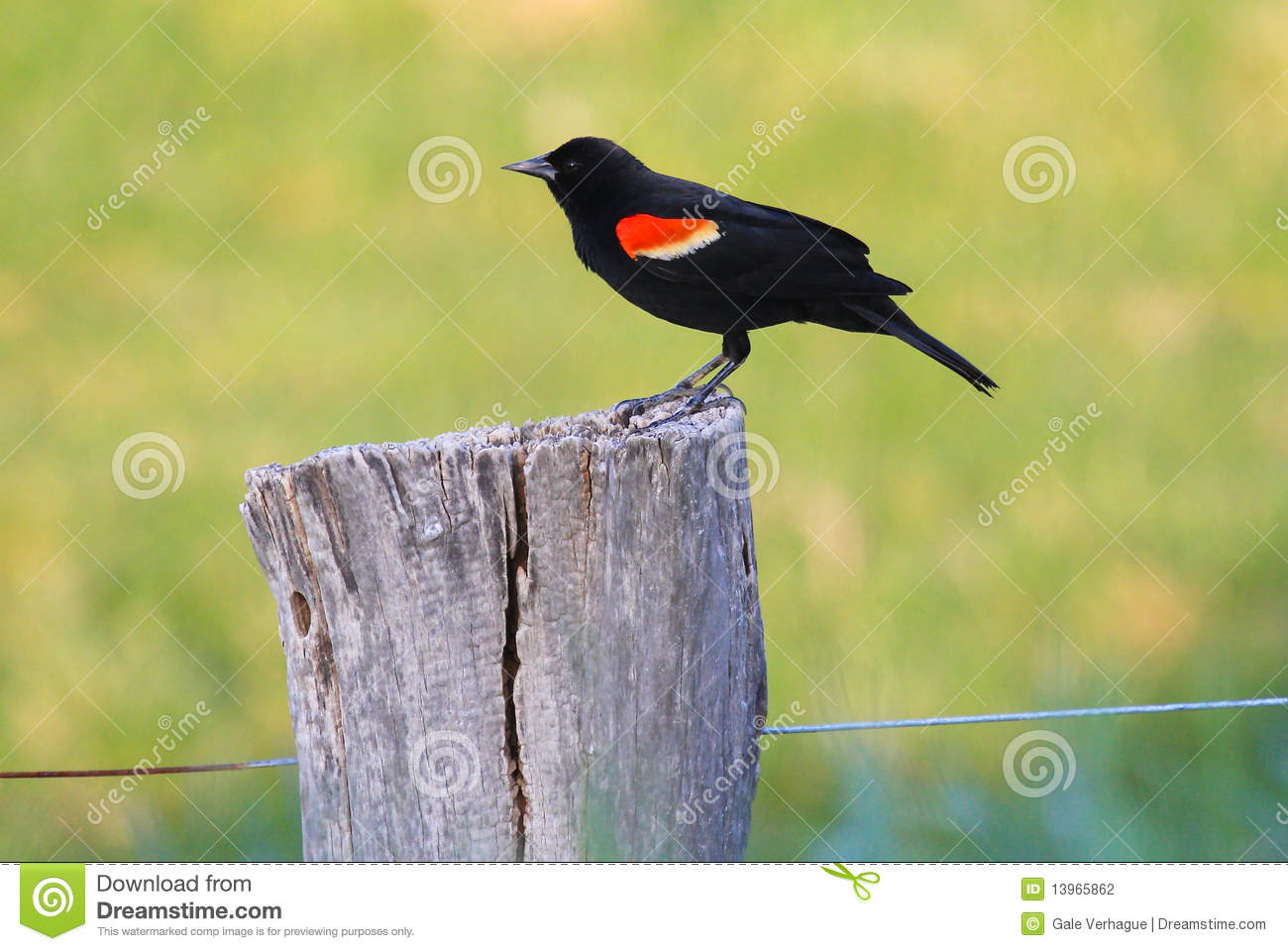 Melro Red-winged