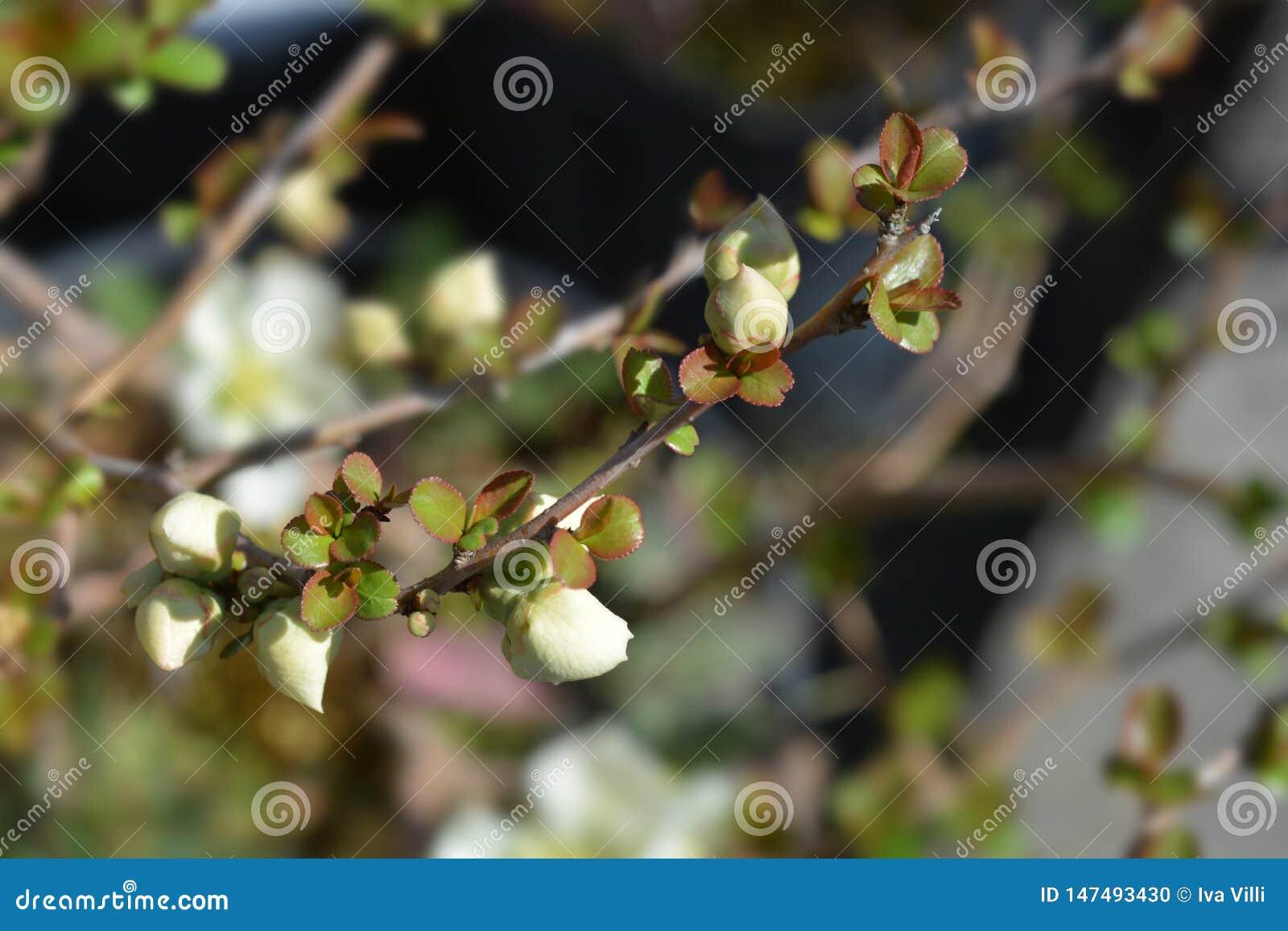 Membrillo floreciente japon?s