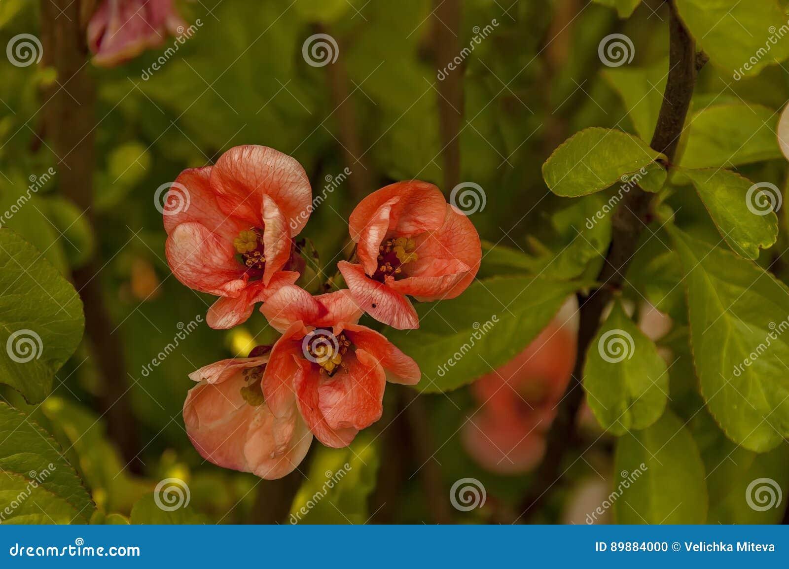 Membrillo japonés o rama del speciosa del Chaenomeles - floreciendo en la primavera, Sofía