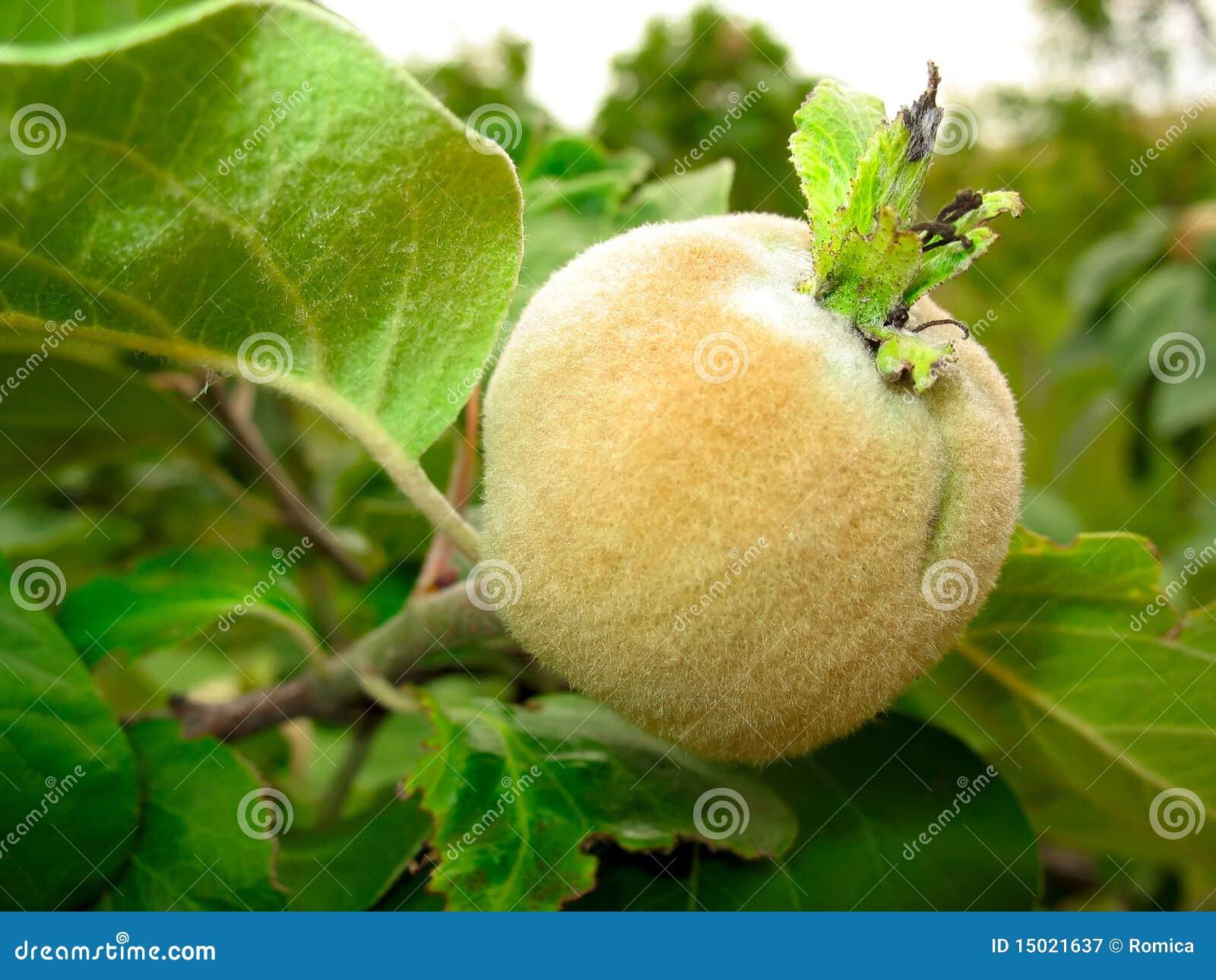 Membrillo que crece en la ramificaci n de rbol - Arbol de membrillo ...