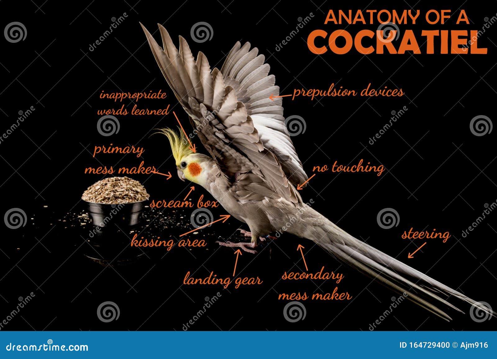 Meme, Anatomy Of A Cockatiel, Sarcastic Funny Bird Memes ...