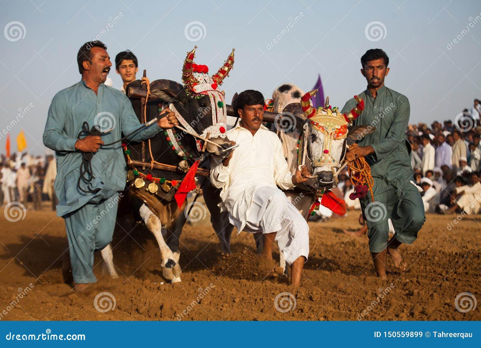 Men controlling bulls at a tarditional punjabi bull race competetion