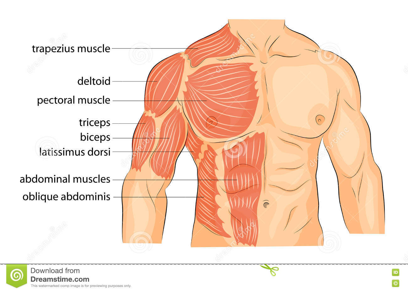 Men S Body Arms Shoulders Chest And Abs Stock Vector Illustration