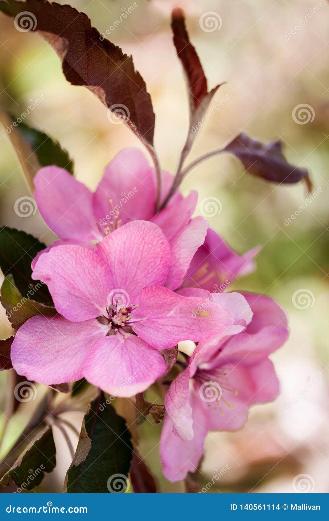 Menchia kwiaty jabłko