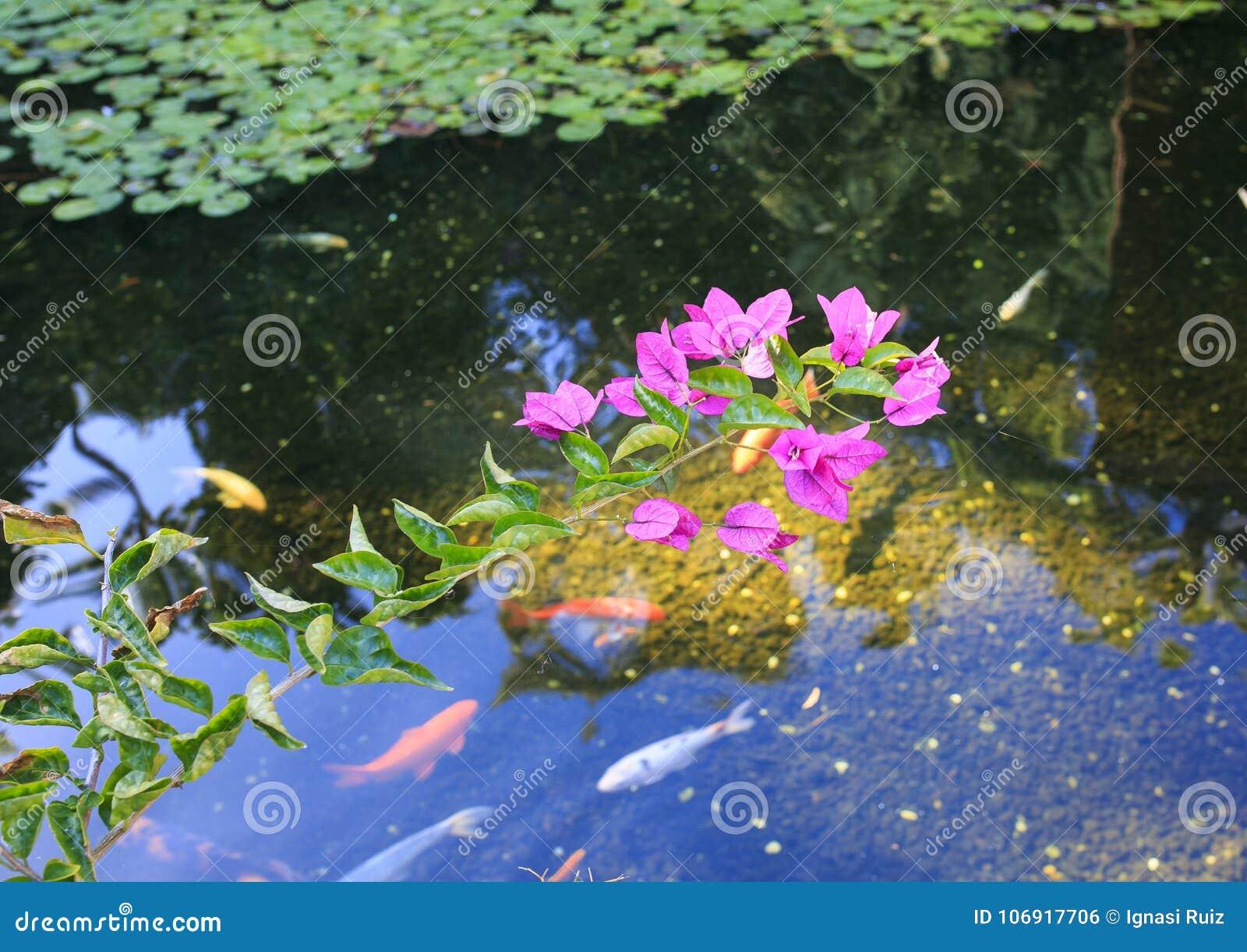 Menchia kwitnie nad wodą