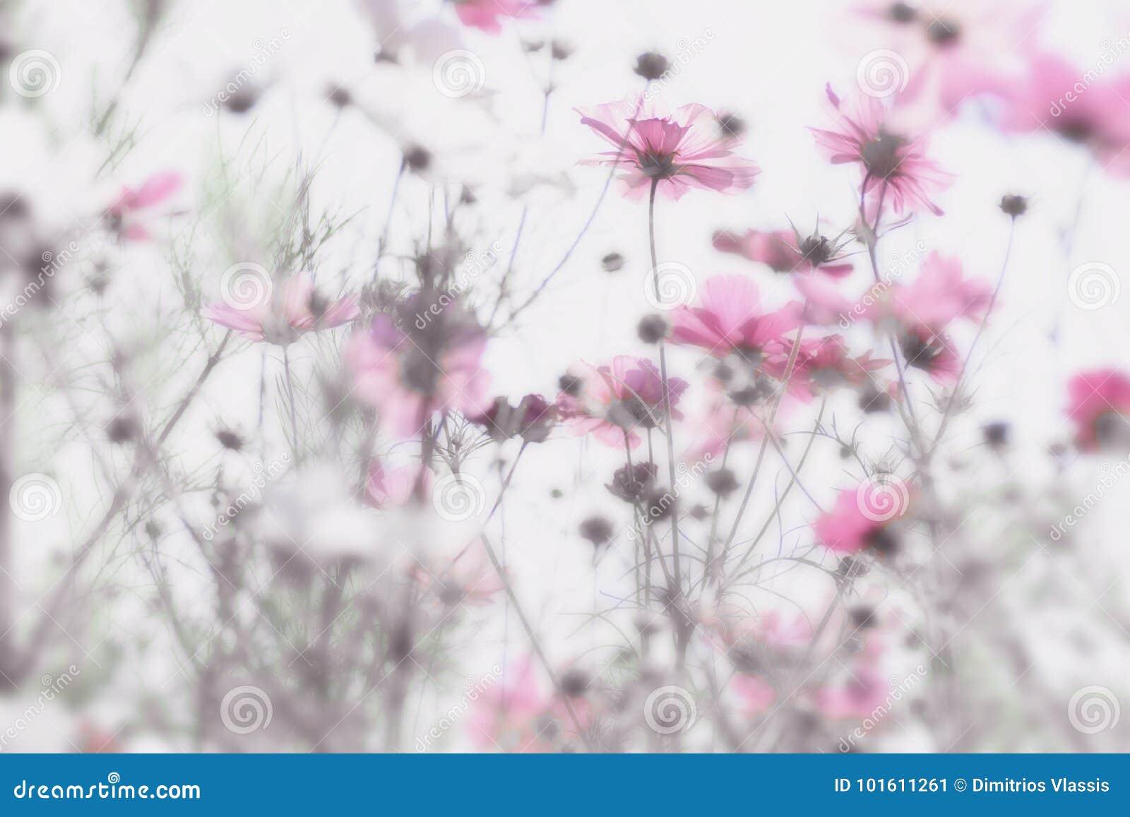 Menchia kwitnie z miękkim i rozmytym białym tłem Marzycielski skutek