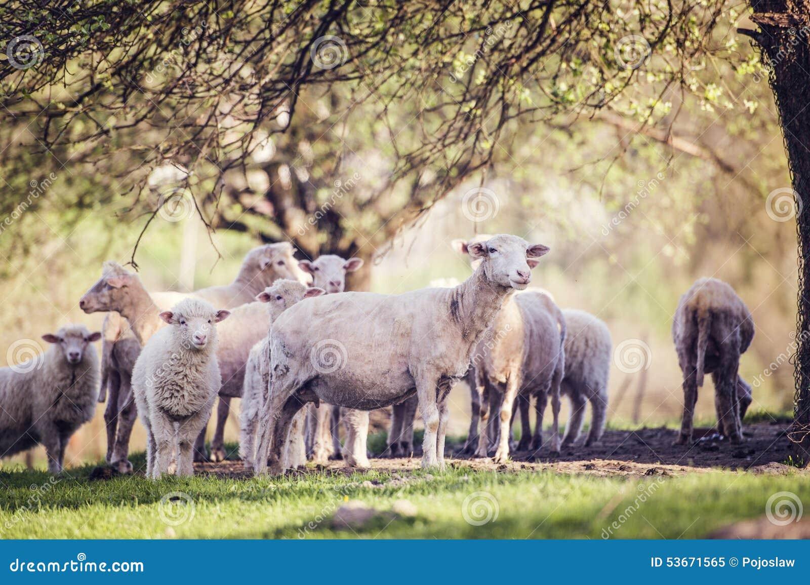 Menge der Schafe