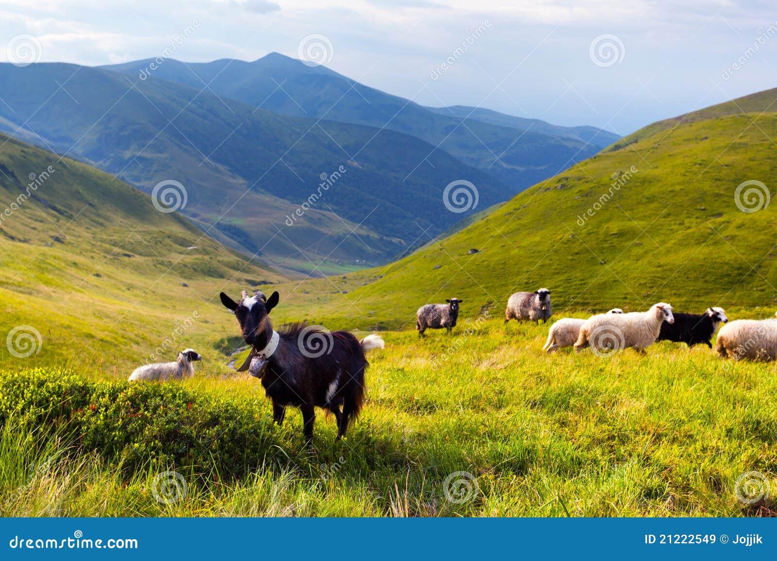 Menge der Schafe und der Ziege