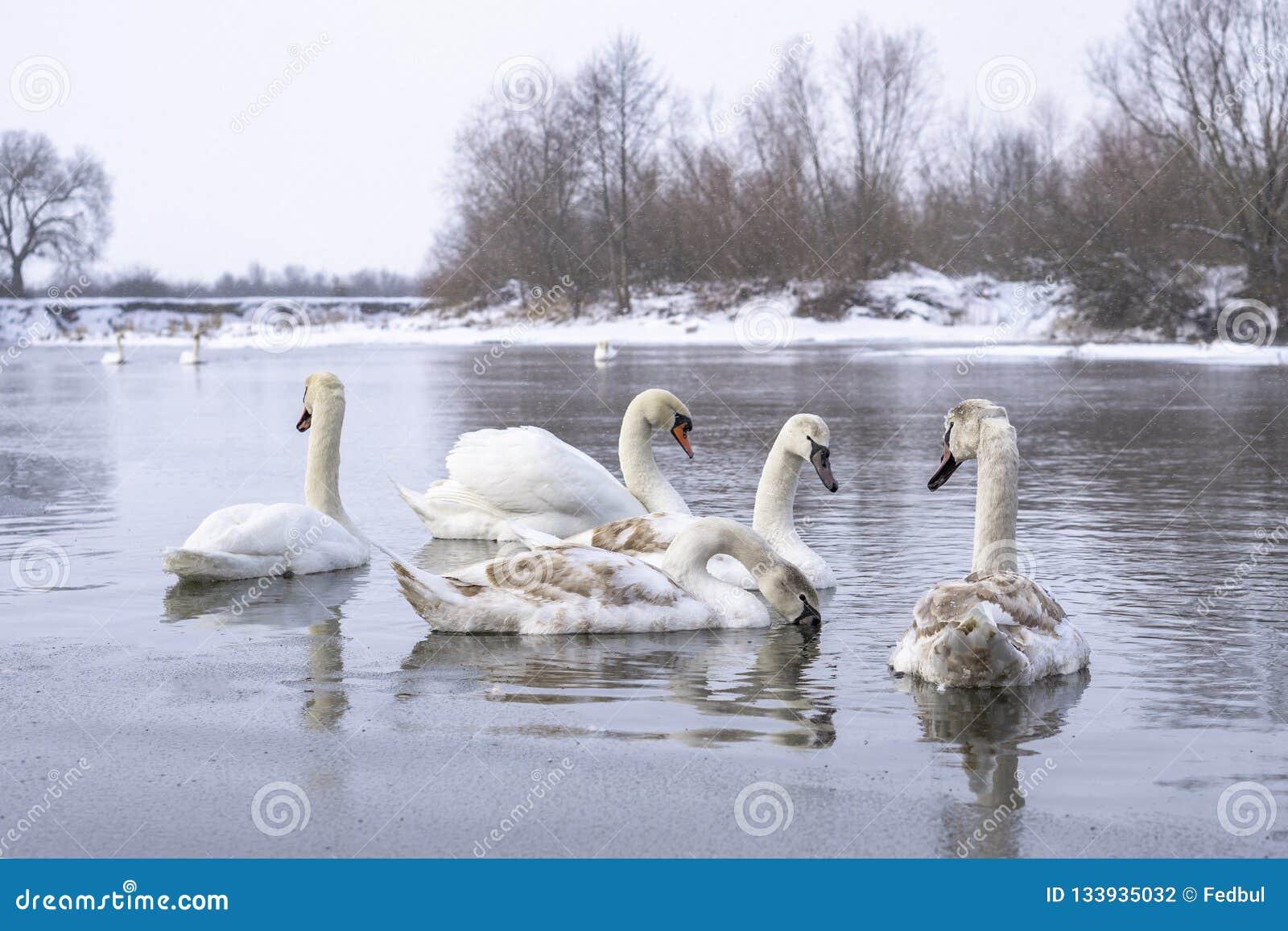 Menge von den Schwänen, die auf Flusswasseroberfläche in der Winterzeit schwimmen Wintern Sie Vögel über