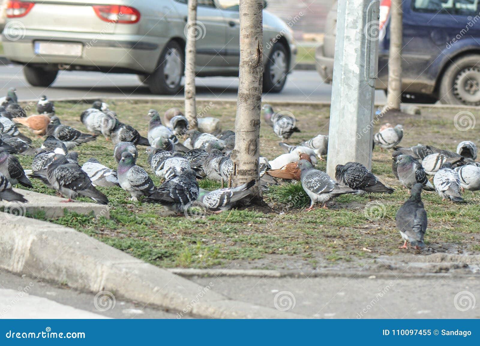 Menigte van duif op de straat