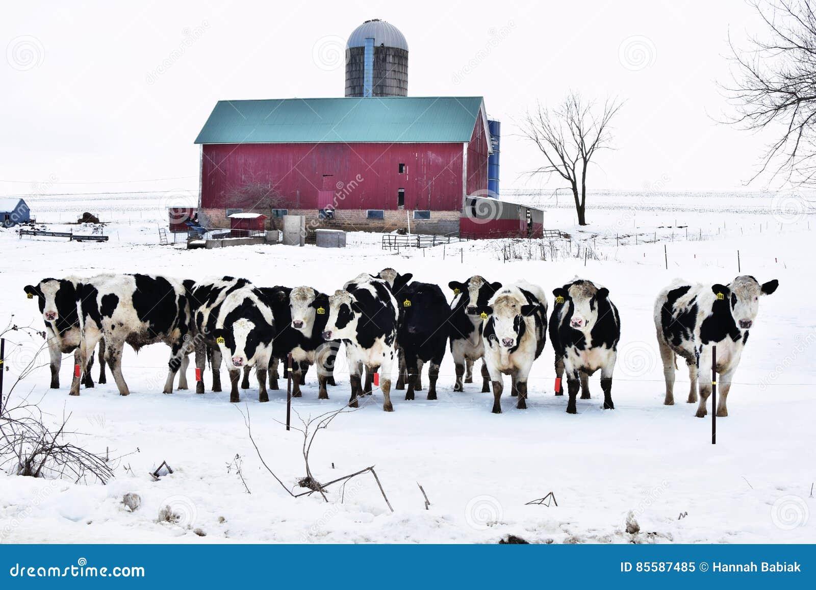 Menigte van Koeien