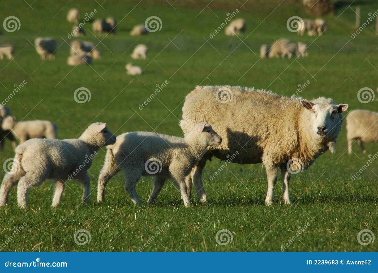 Menigte van schapen