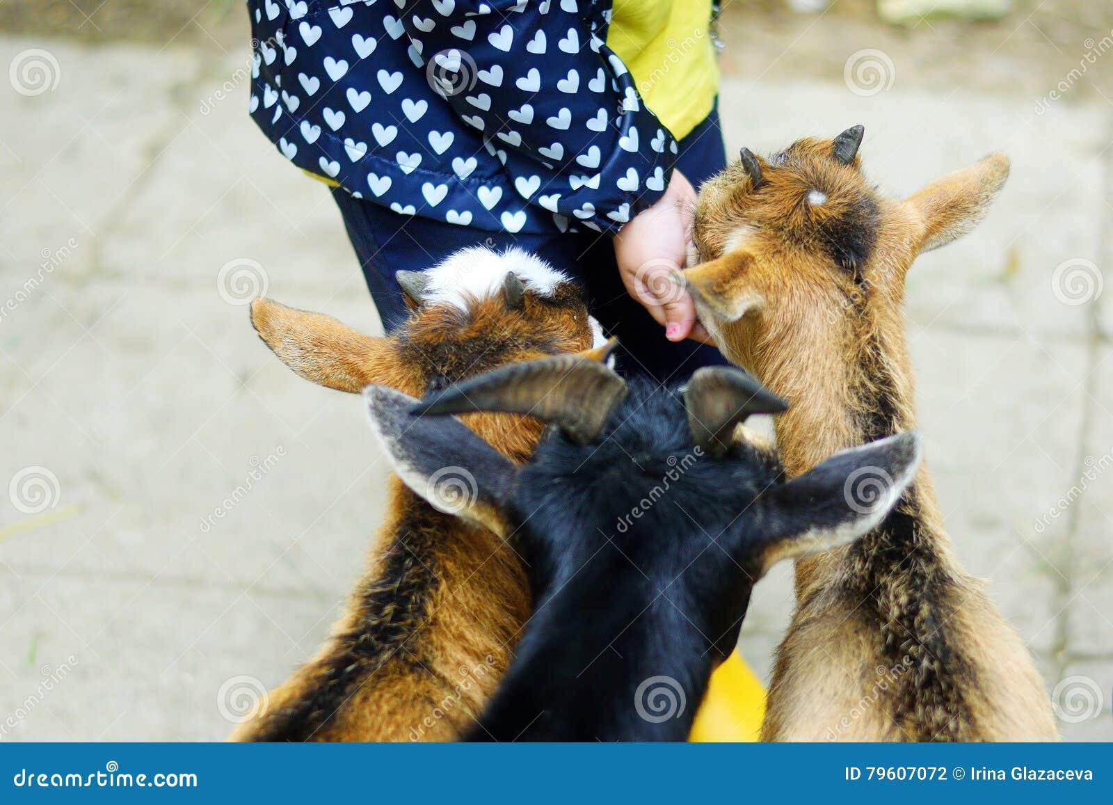 Menina adorável que alimenta uma cabra no jardim zoológico no dia de verão ensolarado quente