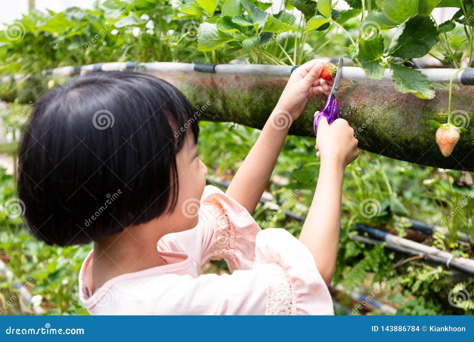 Menina chinesa pequena asiática que escolhe a morango fresca