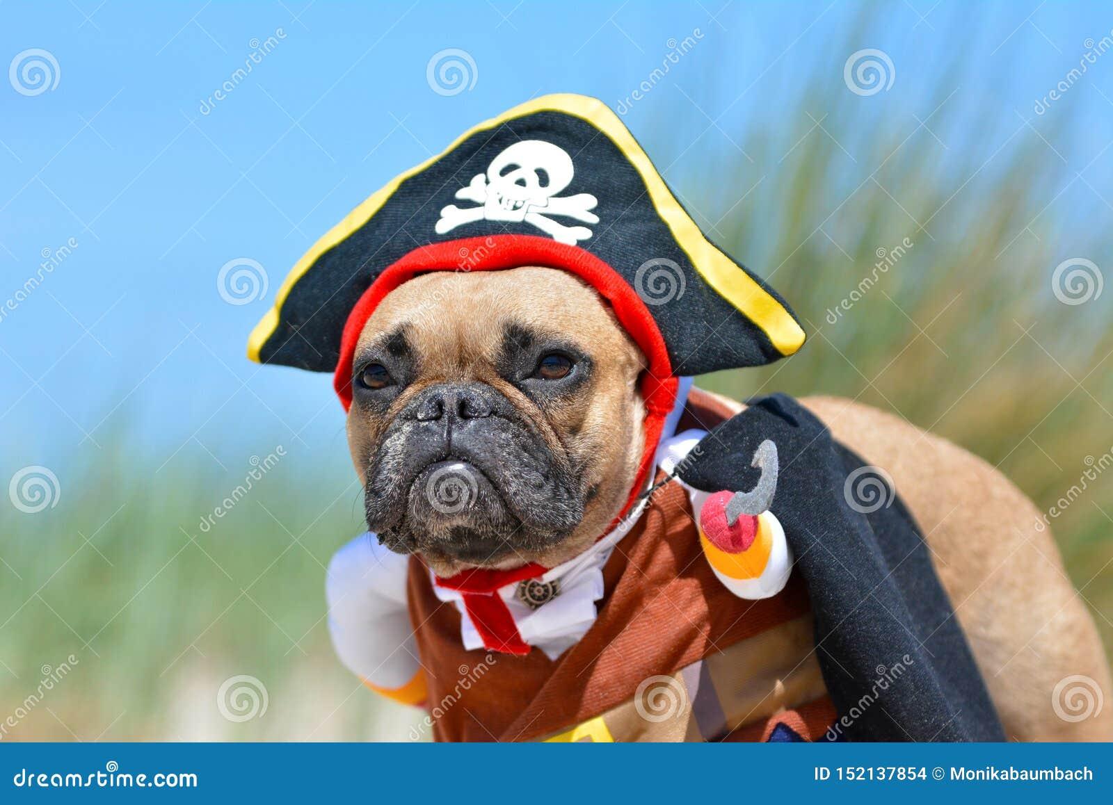 Menina engraçada do cão do buldogue francês da jovem corça vestida acima no traje do pirata com chapéu e gancho