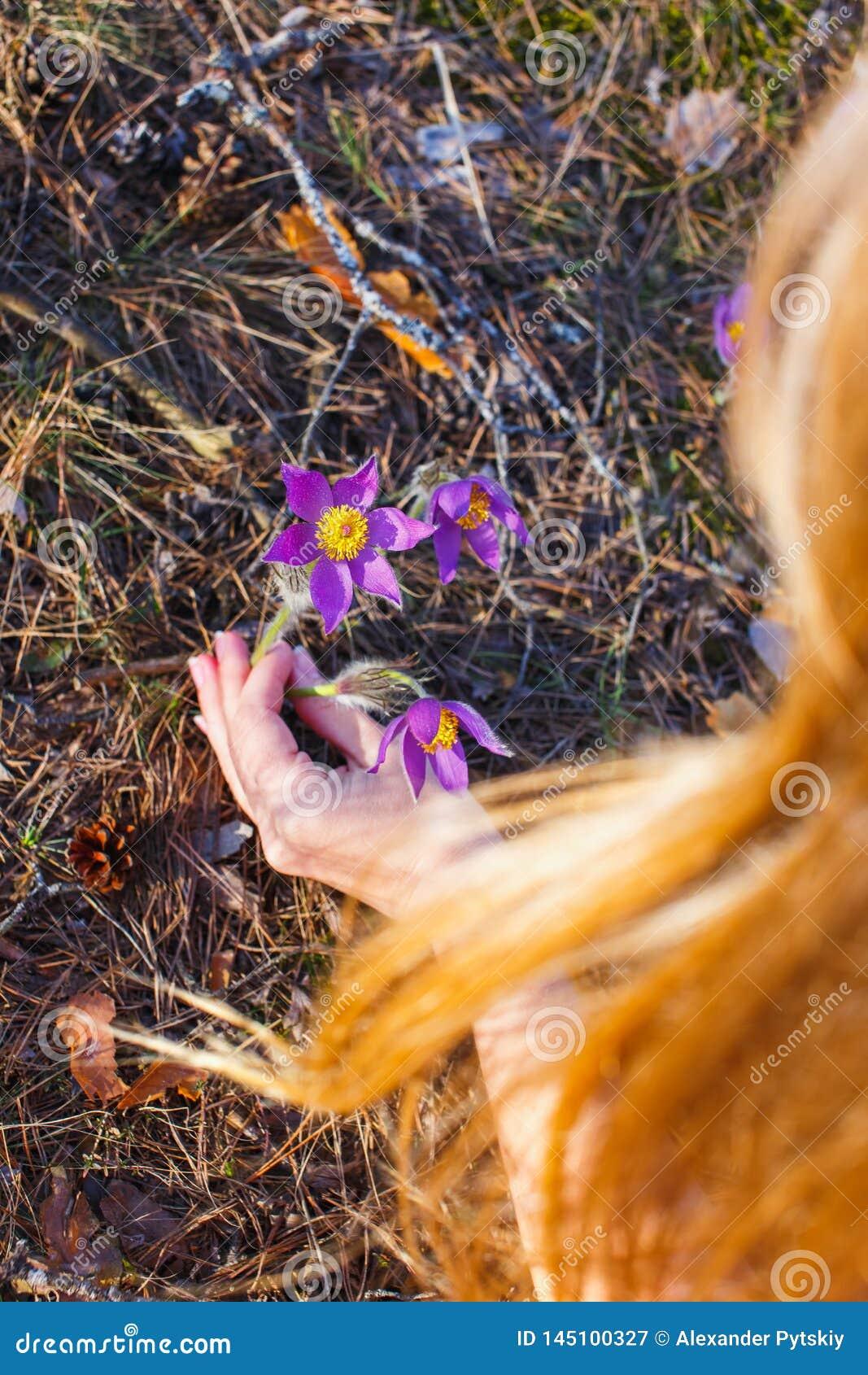 A menina recolhe a floresta da pasque-flor na primavera