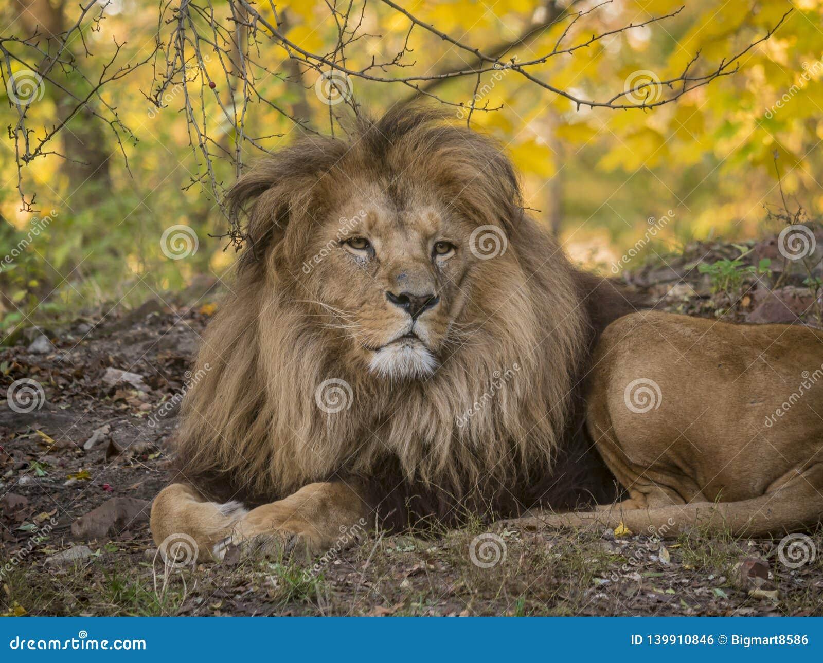 Mening van het leeuw de mannelijke ontspannende portret in gele kleuren