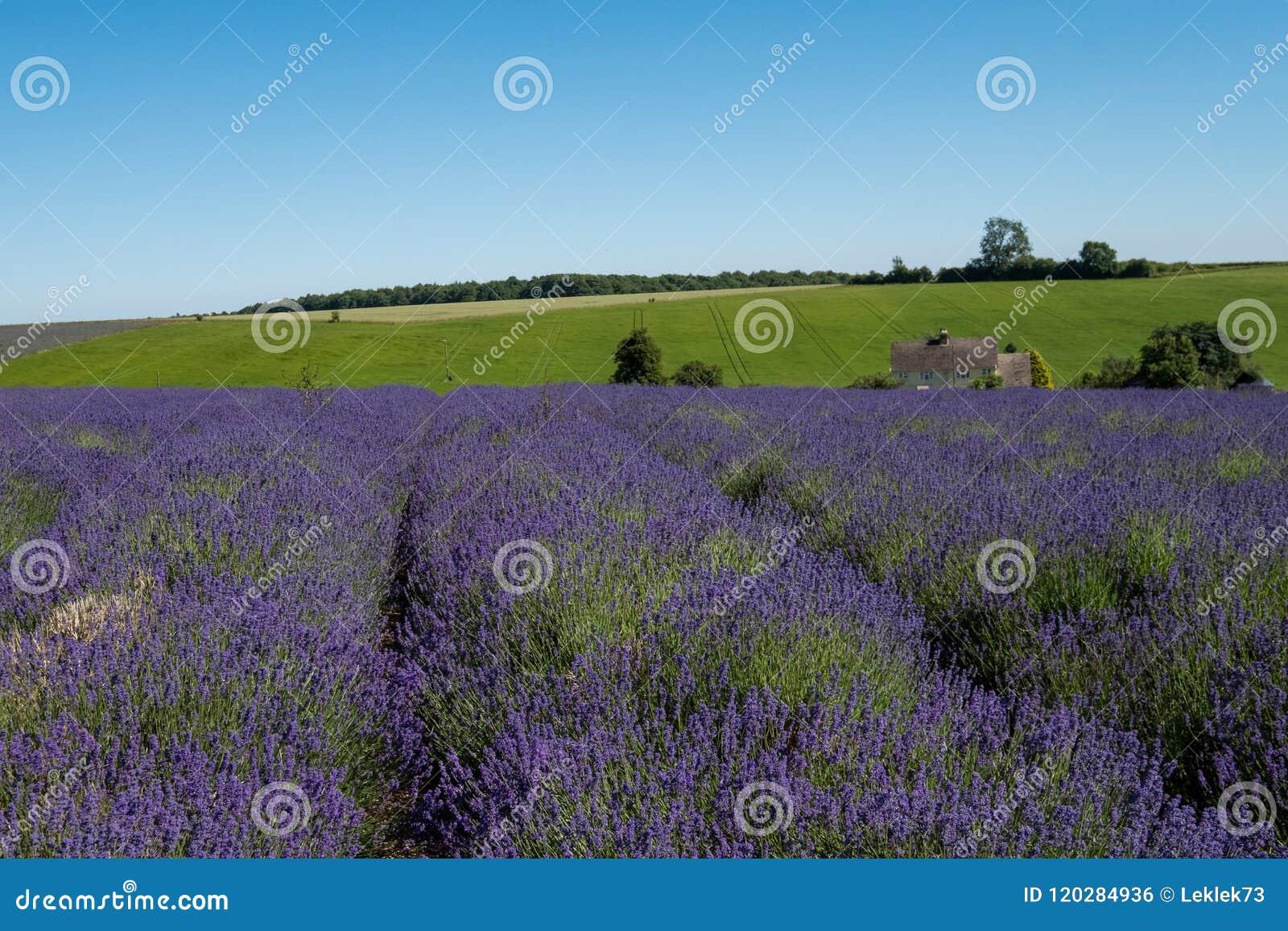 Mening van rijen van lavendel op een gebied op een bloemlandbouwbedrijf in Cotswolds, Worcestershire het UK