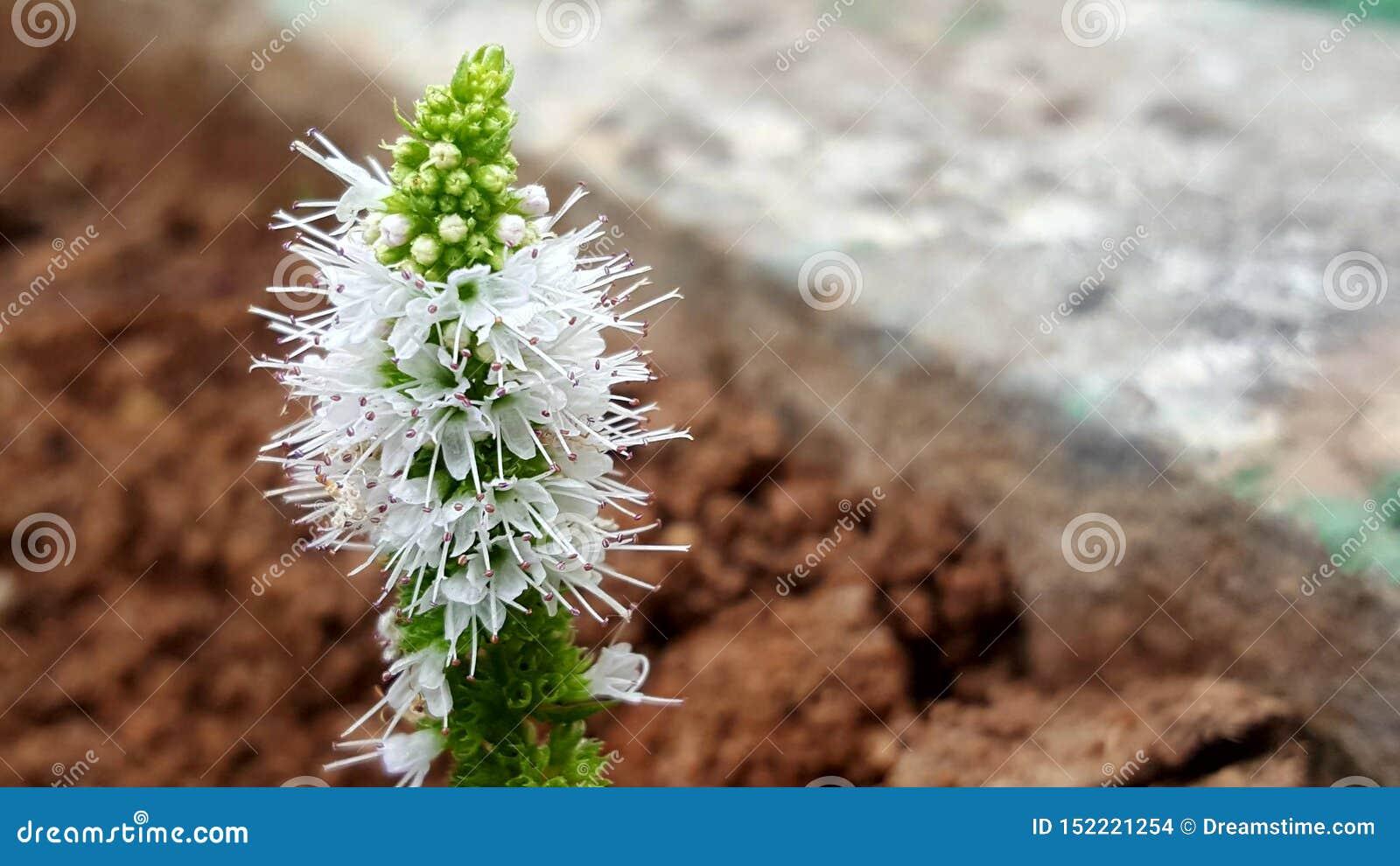 Mennica kwiaty 111
