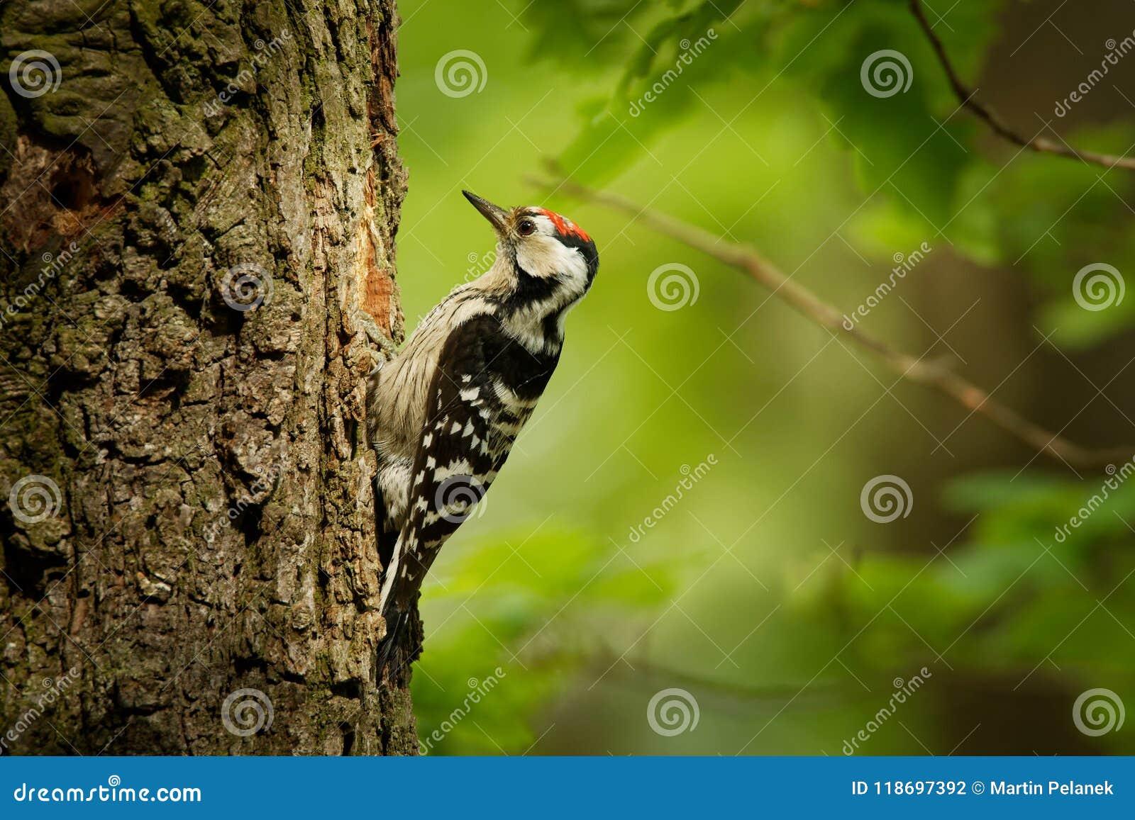 Menor de Lesser Spotted Woodpecker - de Dendrocopos que alimenta sus polluelos en el nesthole en el árbol
