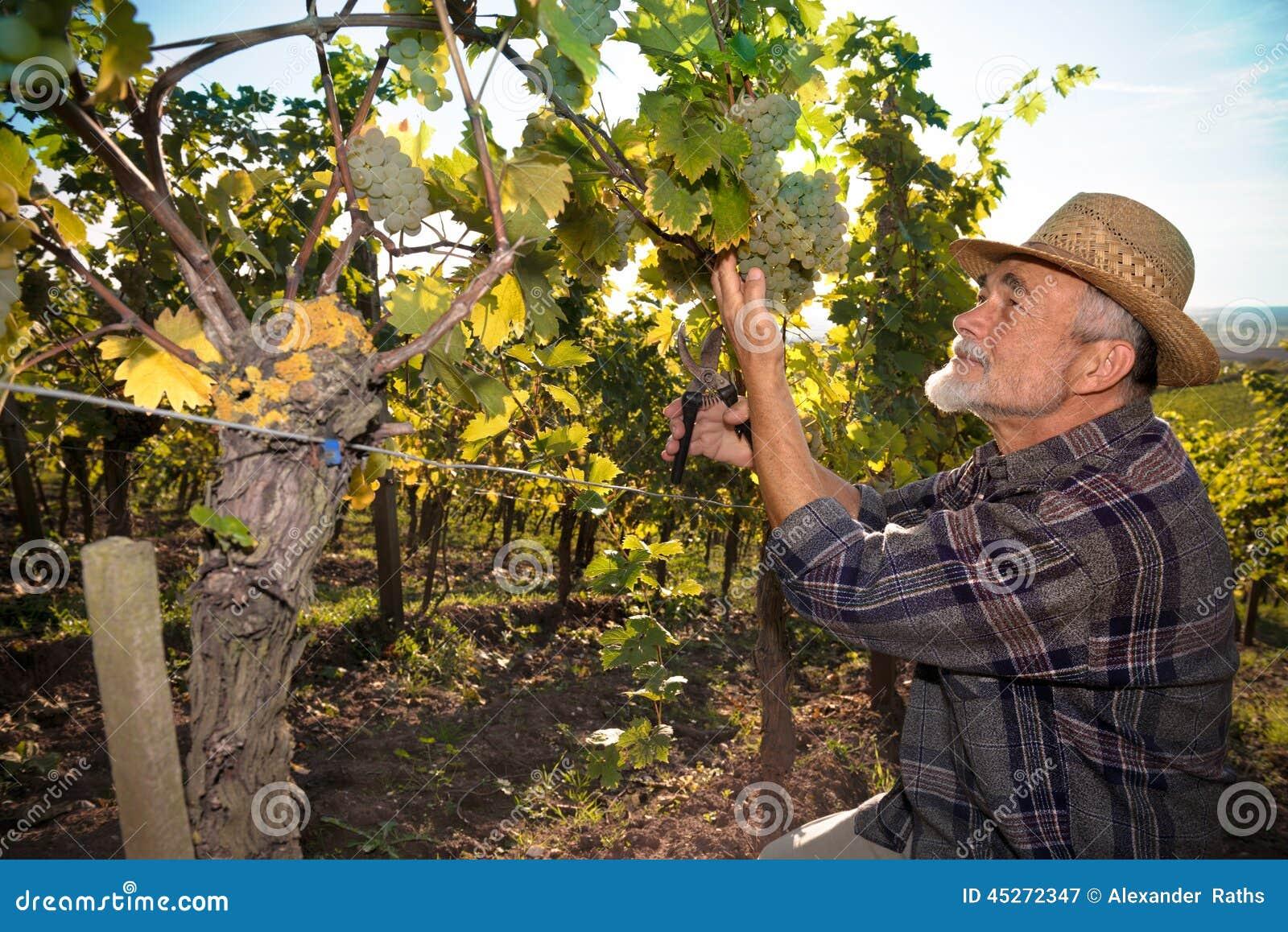 Mens die in een wijngaard werken