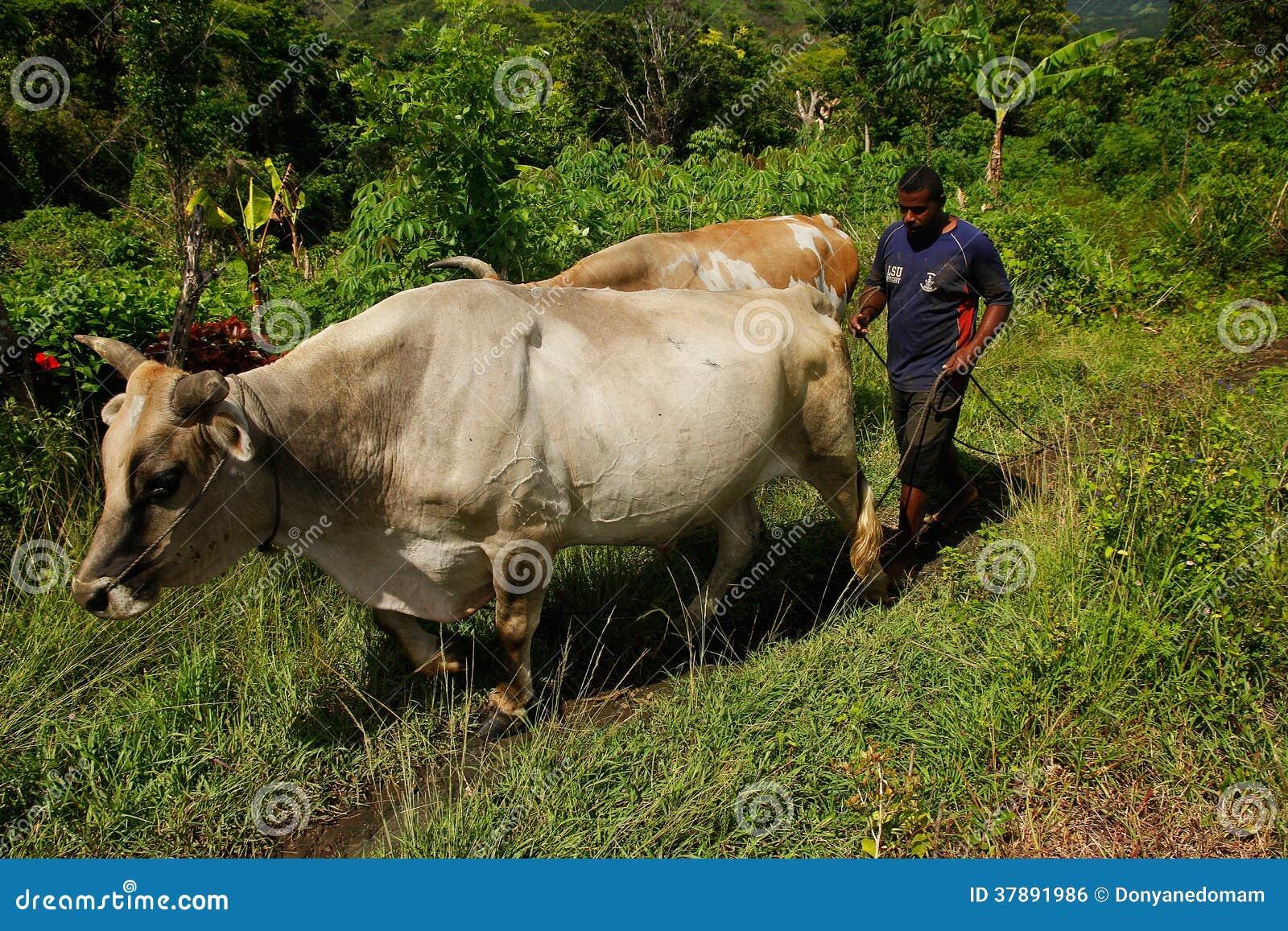 Mens met waterbuffel, Navala-dorp, Viti Levu, Fiji