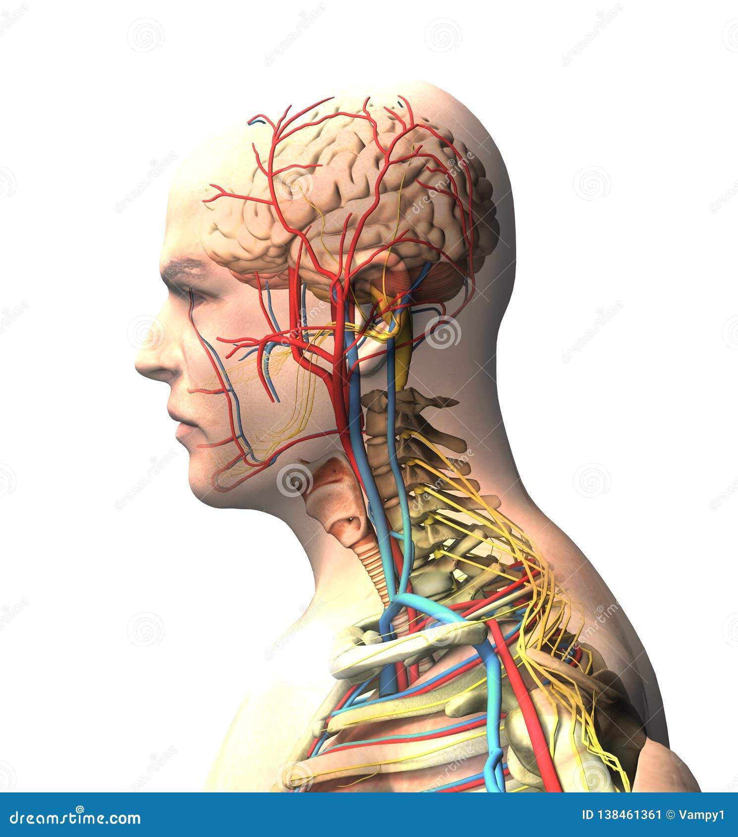 Mens van de kant, de hersenen, het gezicht, x-ray mening van slagaders en aders, de stekel en de ribbenkast wordt gezien die