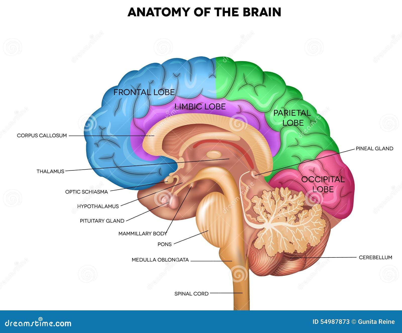 Mensch Brain Anatomy