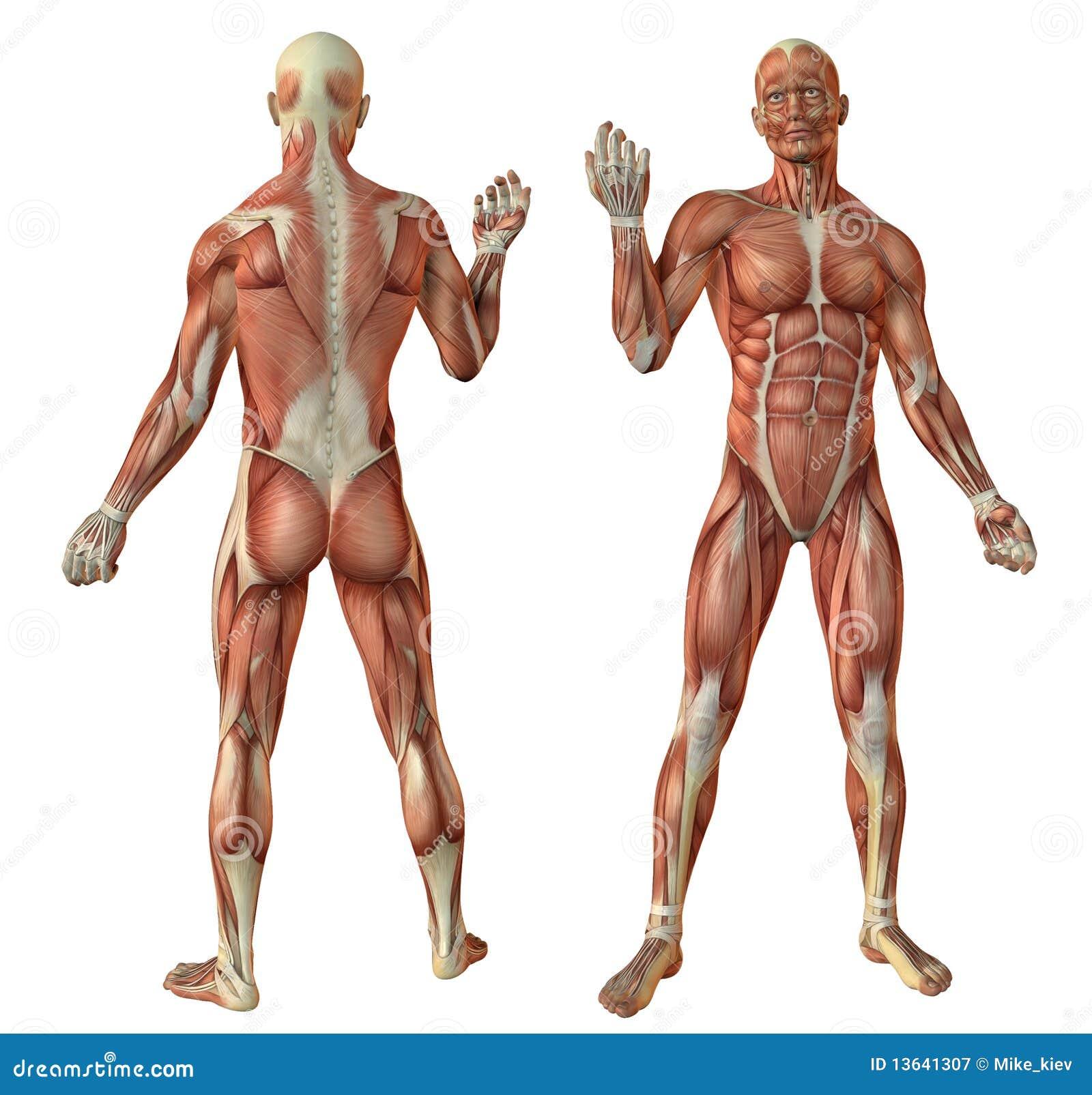 Mensch muscles Anatomie stock abbildung. Illustration von ...