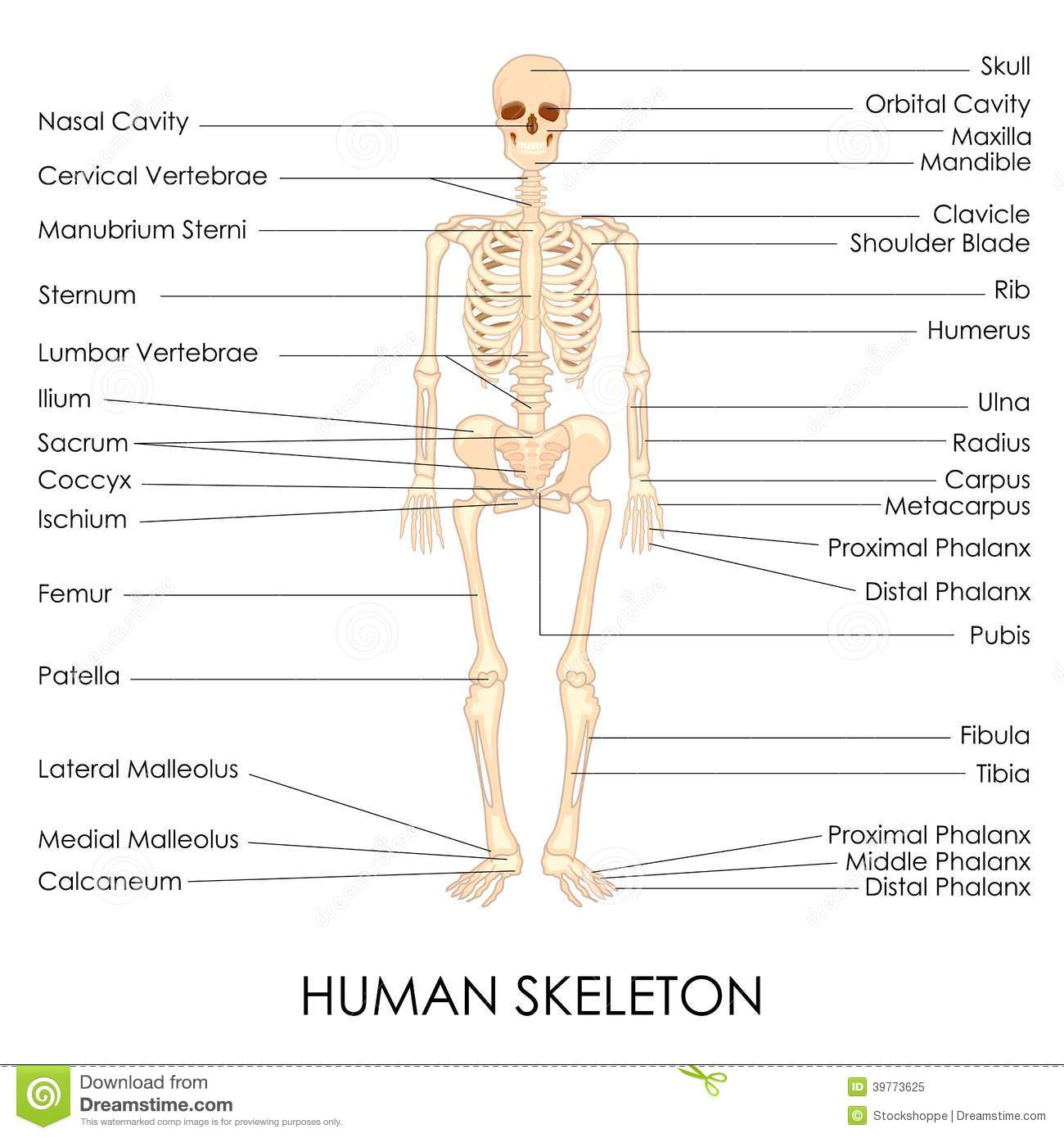 The Bones Of The Skeleton For Kids Videos