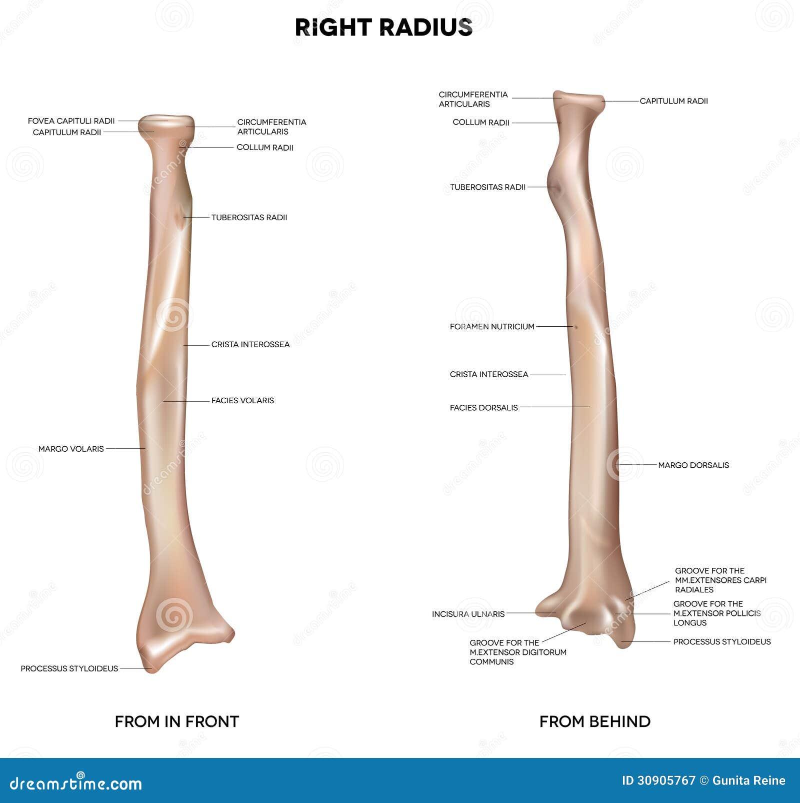 Menschenrechtsradius, Knochen Vektor Abbildung - Illustration von ...