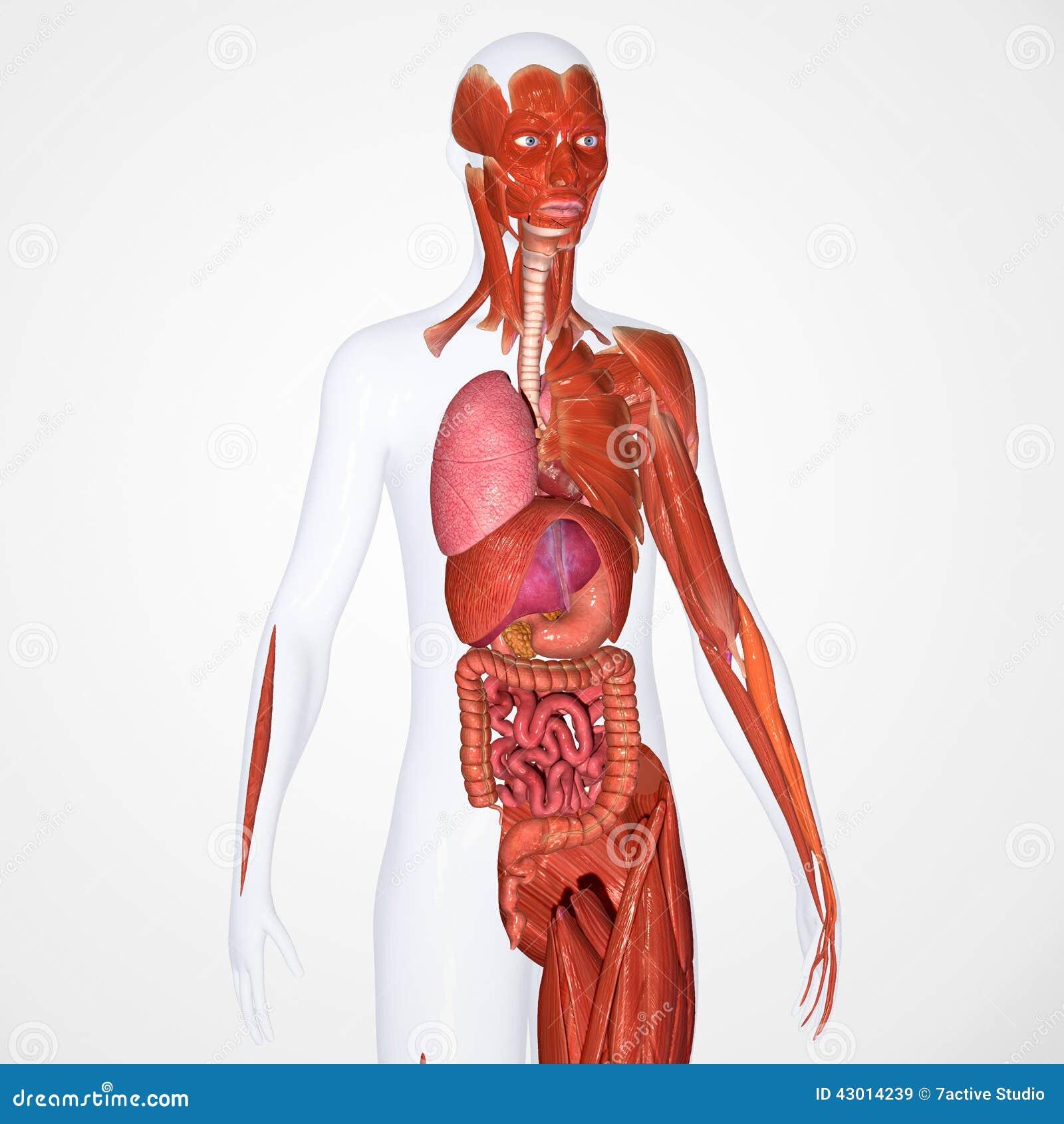 Menschliche Anatomie stock abbildung. Illustration von karosserie ...