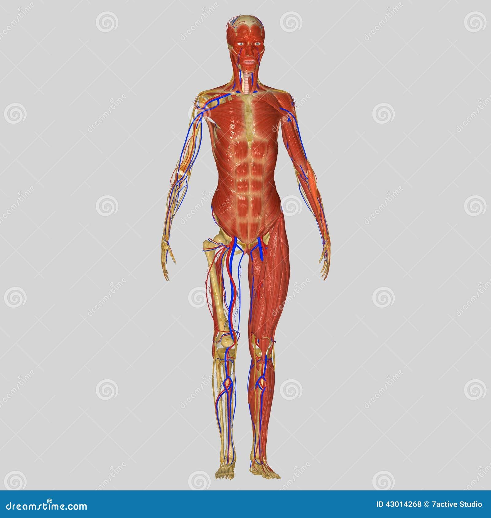 Menschliche Anatomie stock abbildung. Illustration von graphiken ...