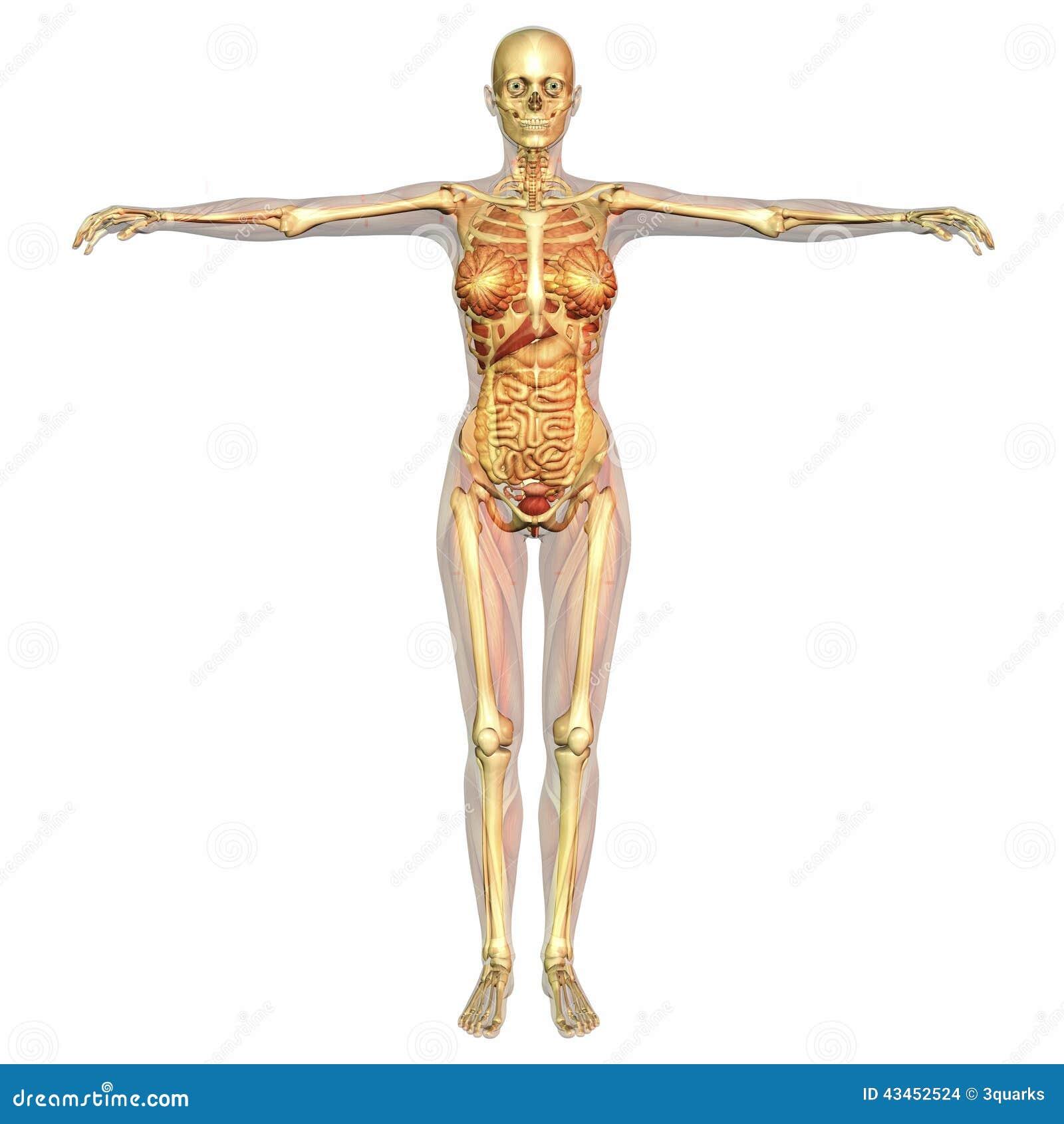 Großartig Muscle Malvorlagen Anatomie Ideen - Druckbare Malvorlagen ...