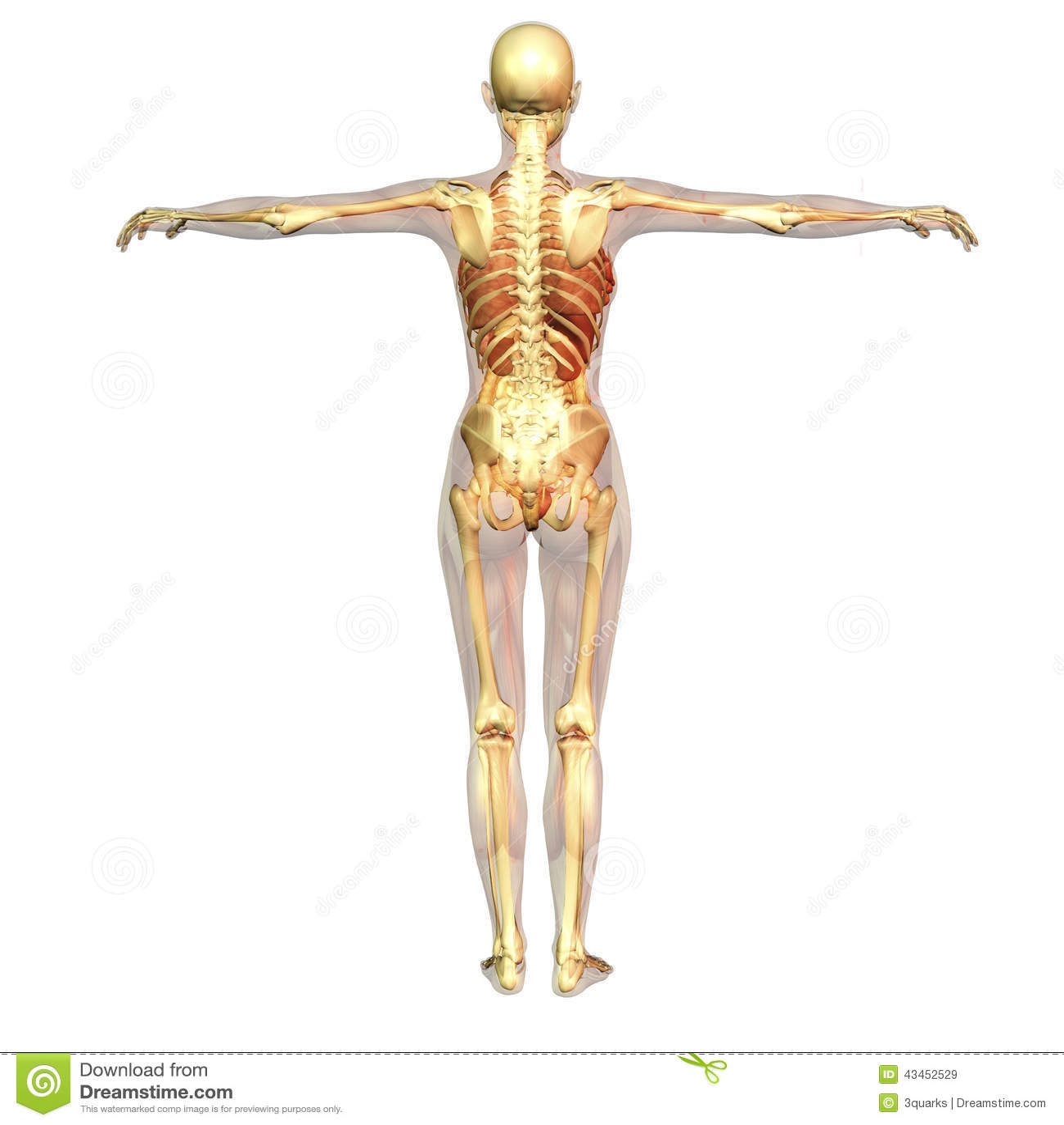 Menschliche Anatomie stock abbildung. Illustration von fahrwerkbeine ...