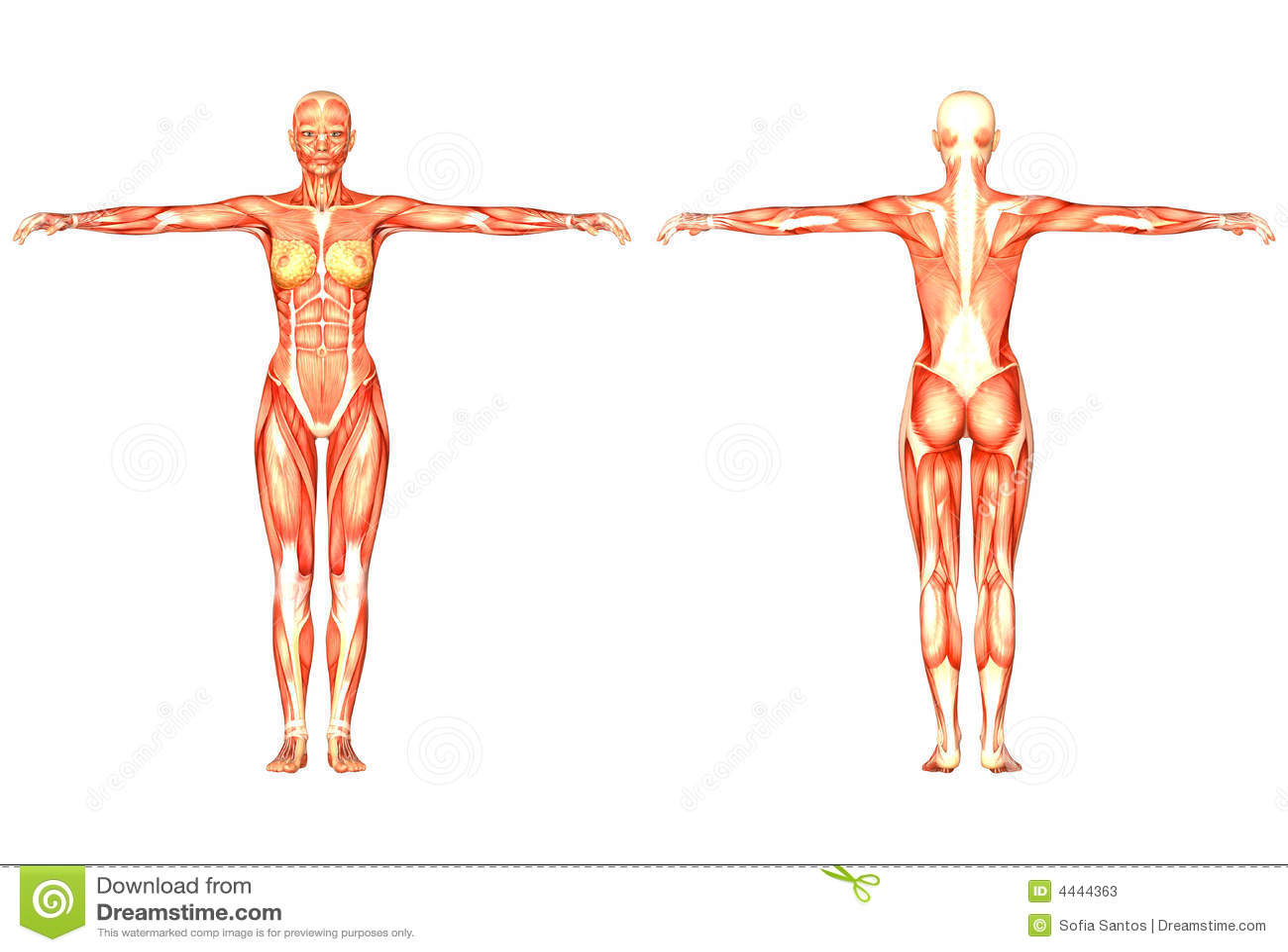 Menschliche Anatomie stock abbildung. Illustration von sehne - 4444363
