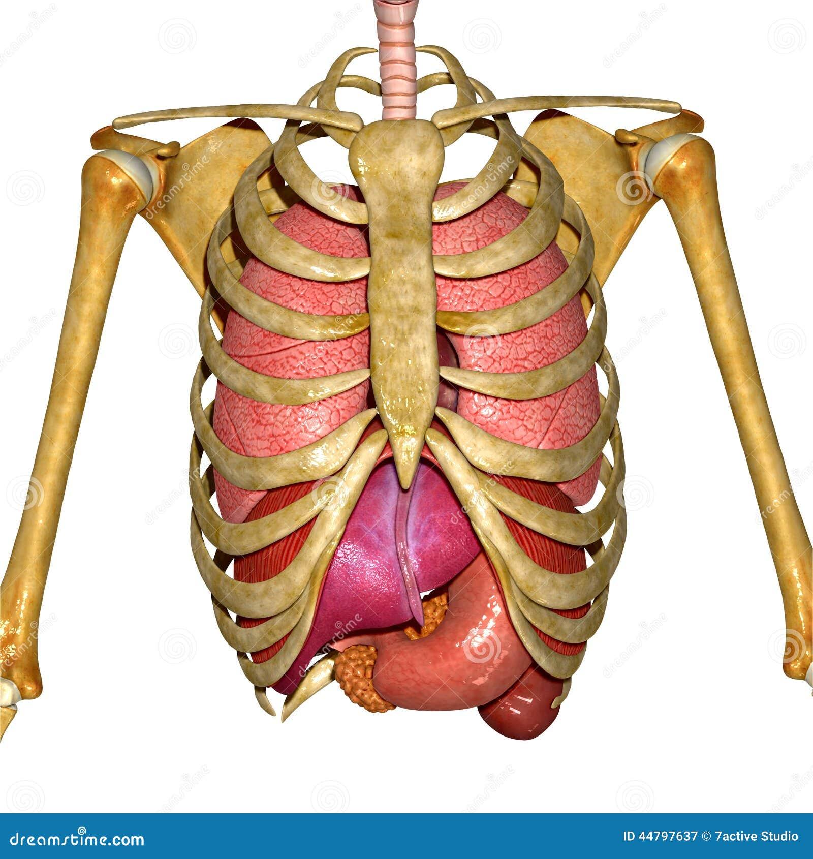 Menschliche Anatomie stock abbildung. Illustration von hand - 44797637