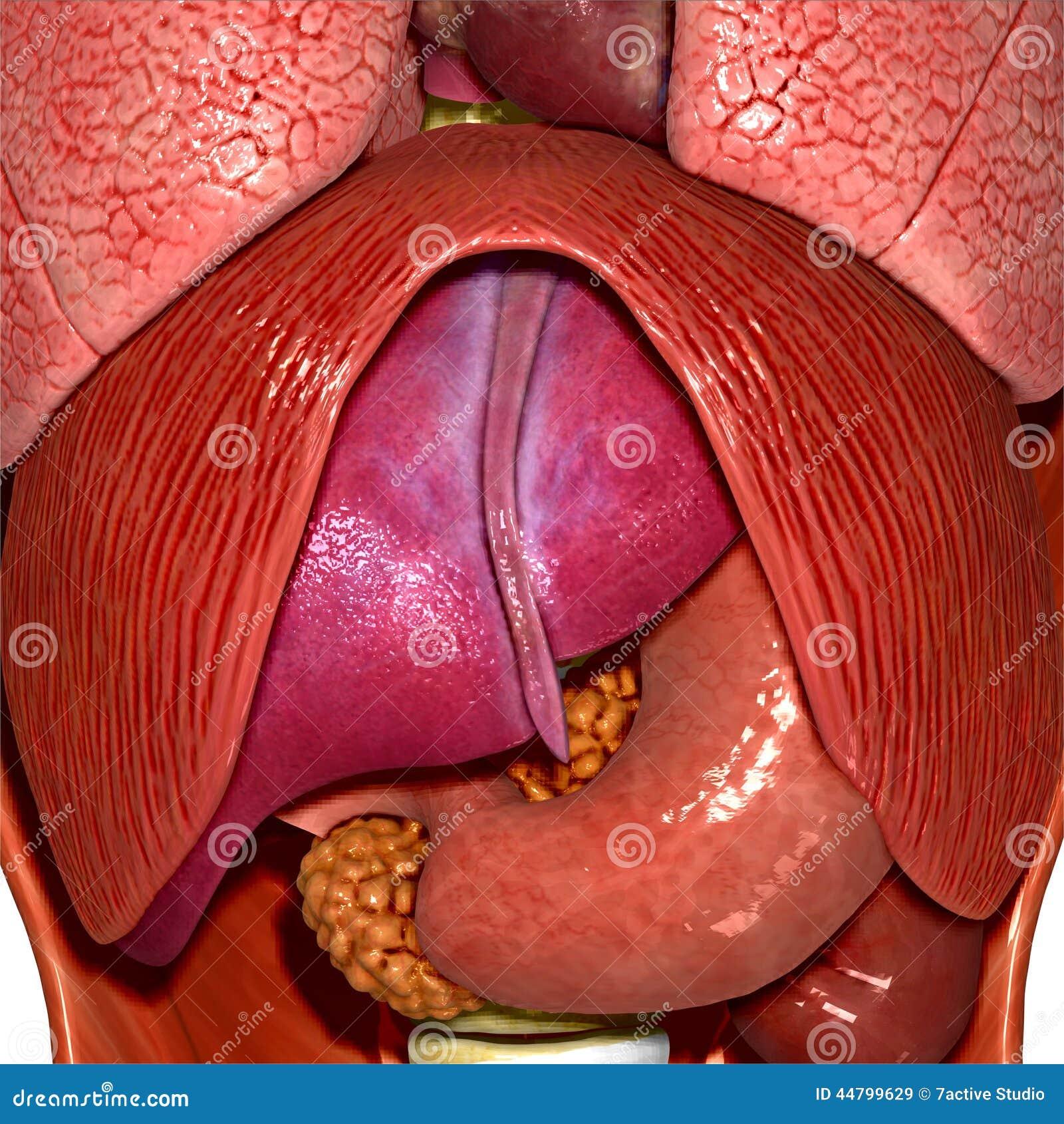 Menschliche Anatomie stock abbildung. Illustration von humerus ...