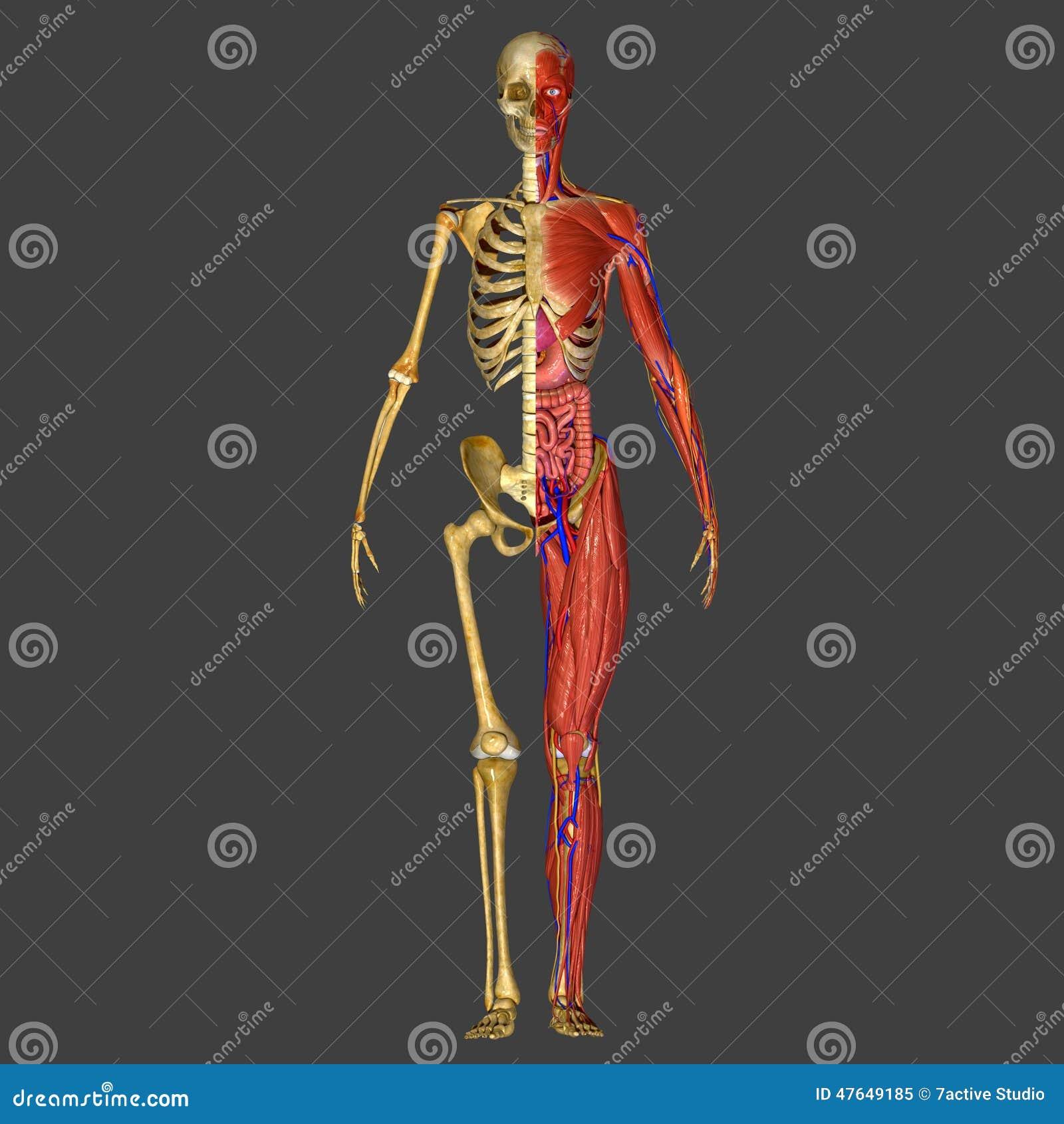 Menschliche Anatomie stockbild. Bild von embryologie - 47649185